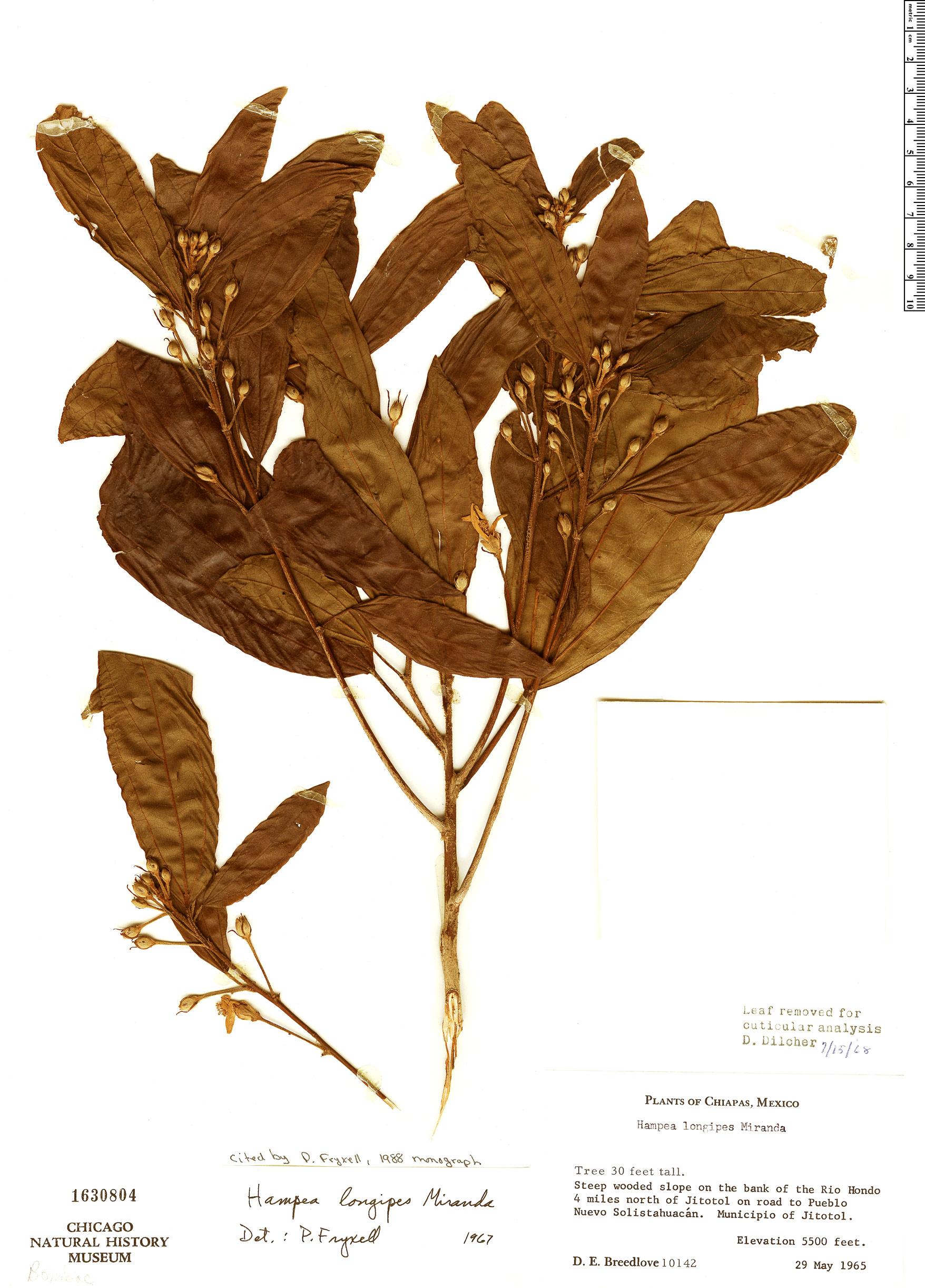Specimen: Hampea longipes