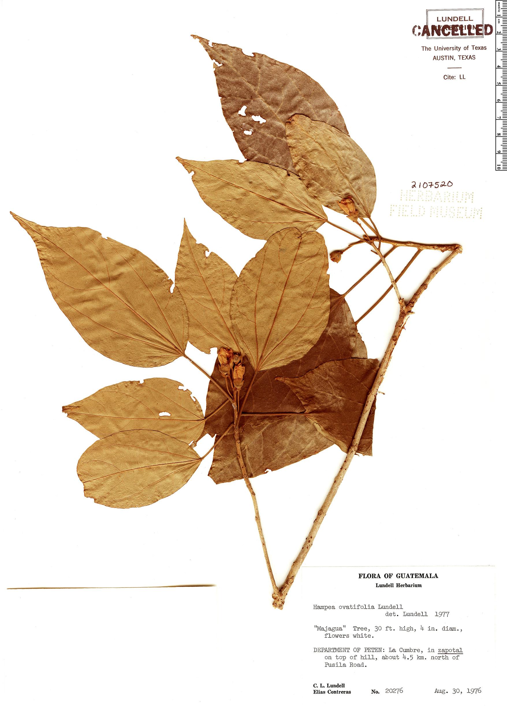 Specimen: Hampea ovatifolia