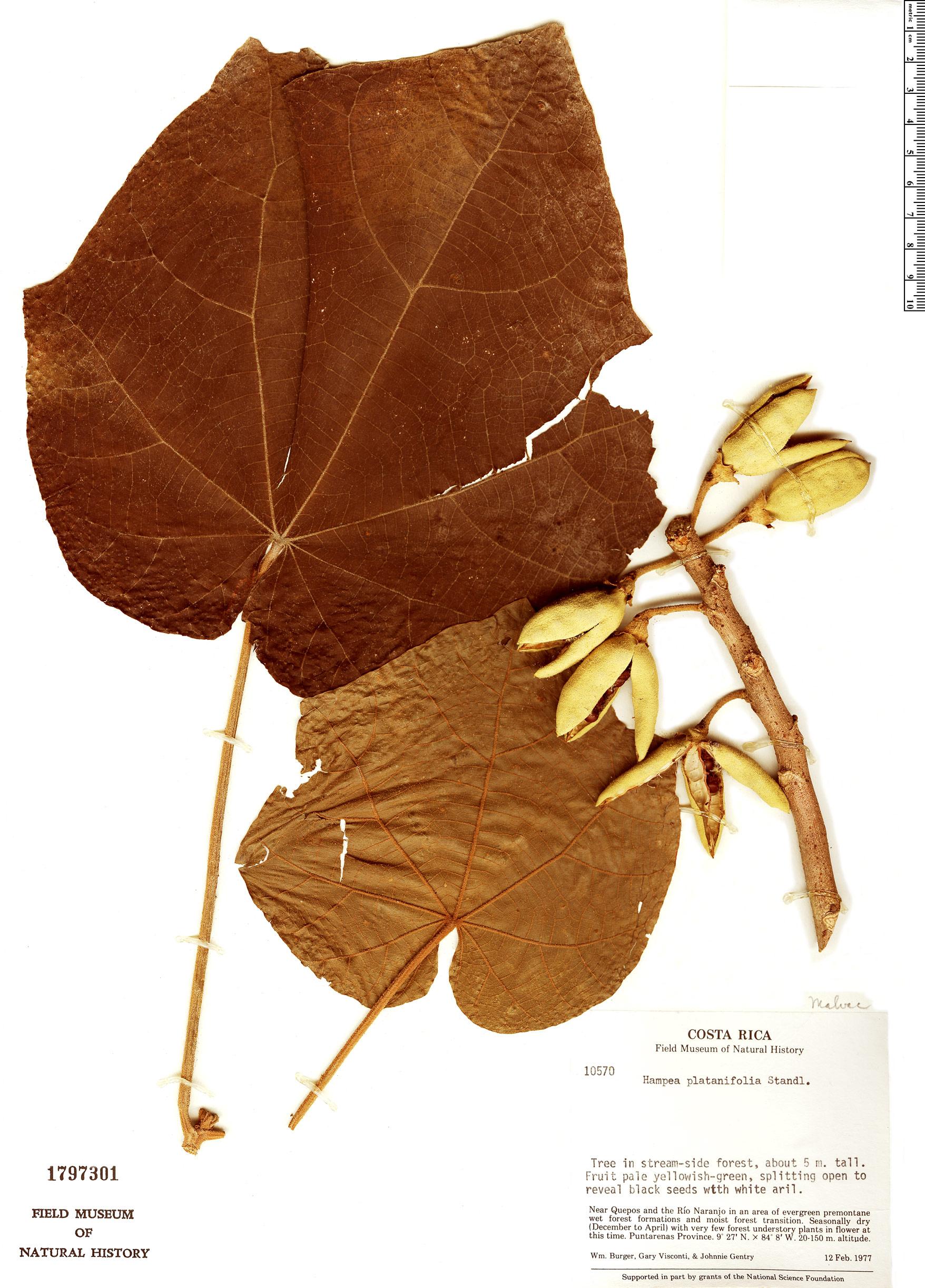 Specimen: Hampea platanifolia