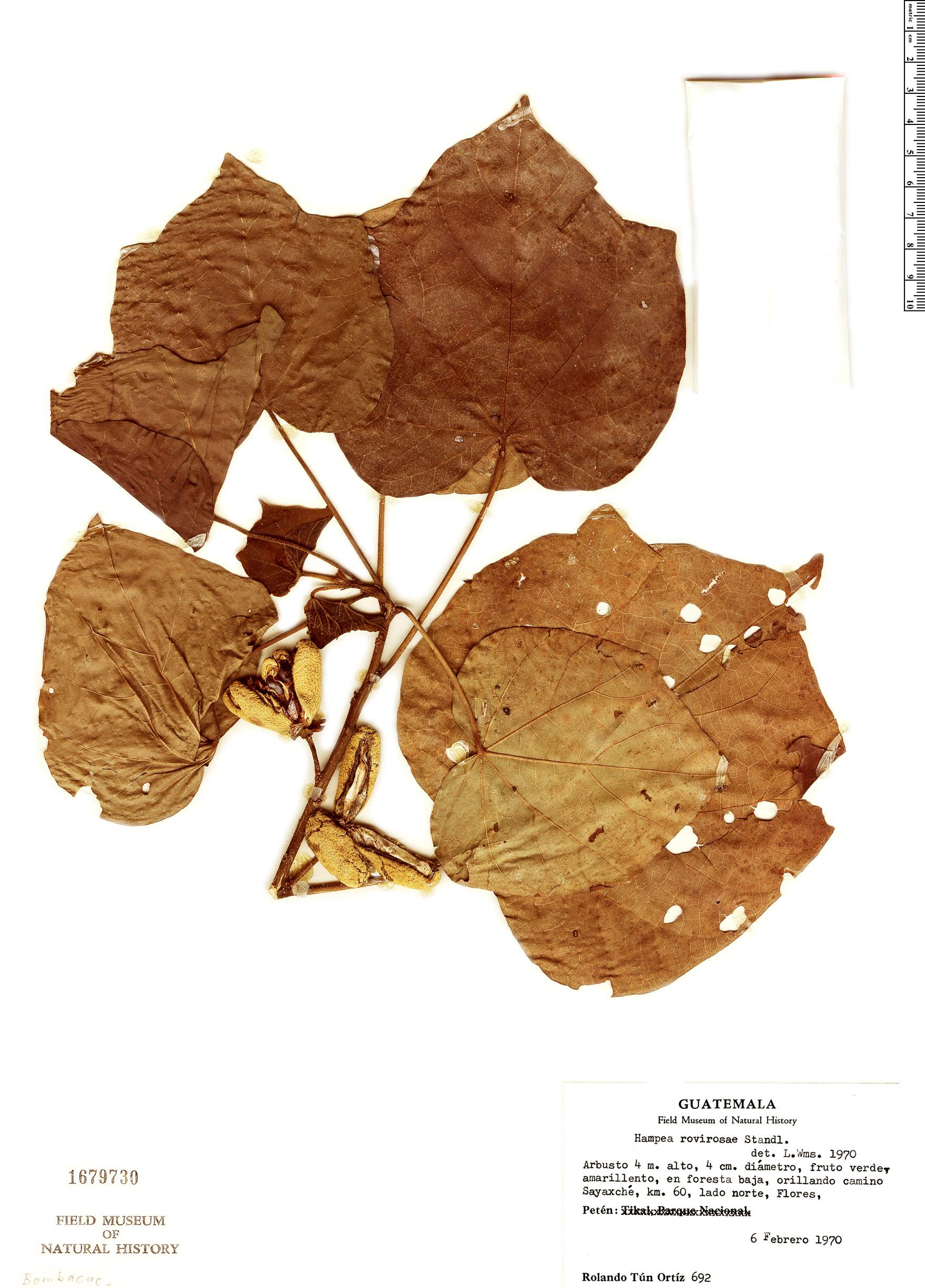 Specimen: Hampea rovirosae