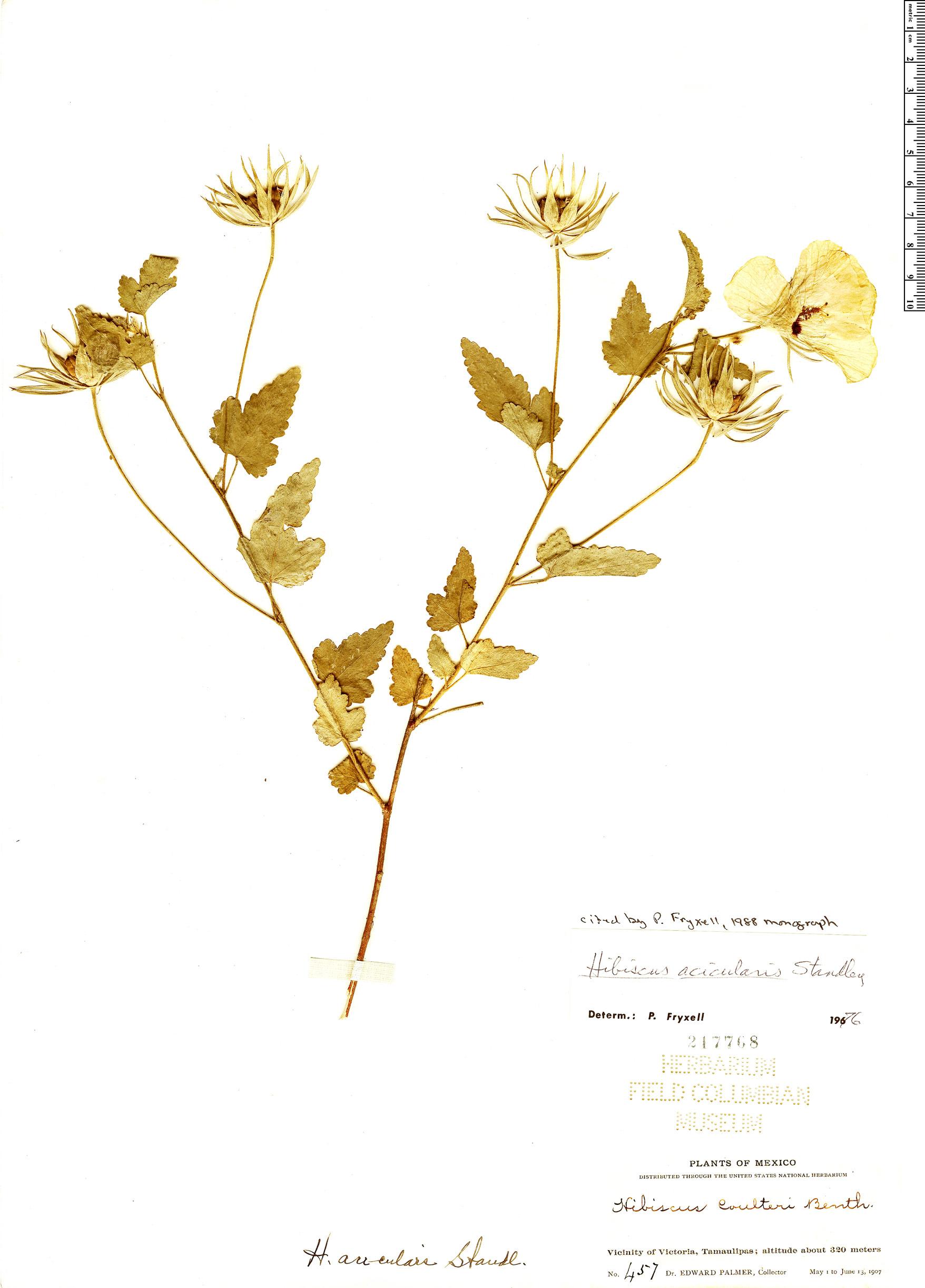 Specimen: Hibiscus acicularis