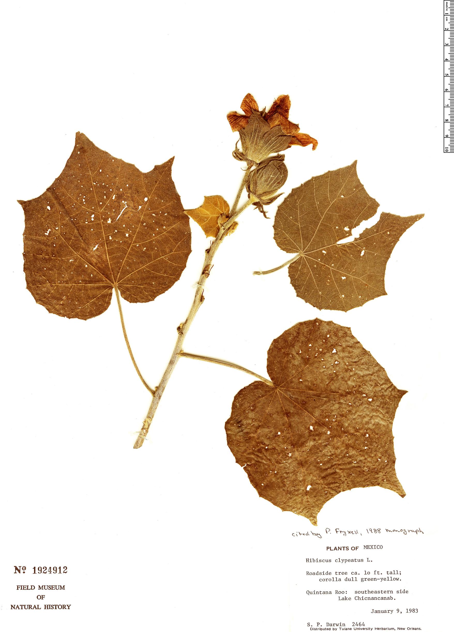 Specimen: Hibiscus clypeatus