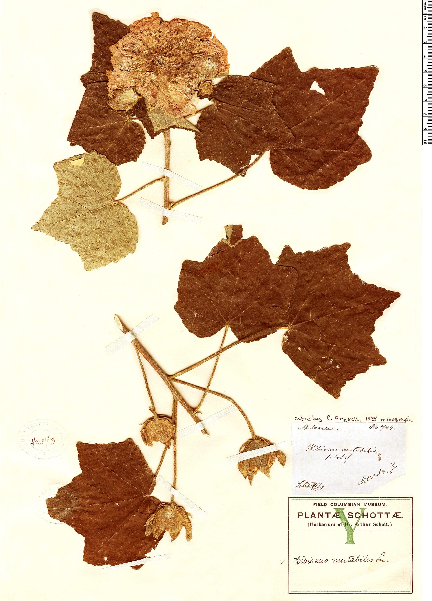 Specimen: Hibiscus mutabilis