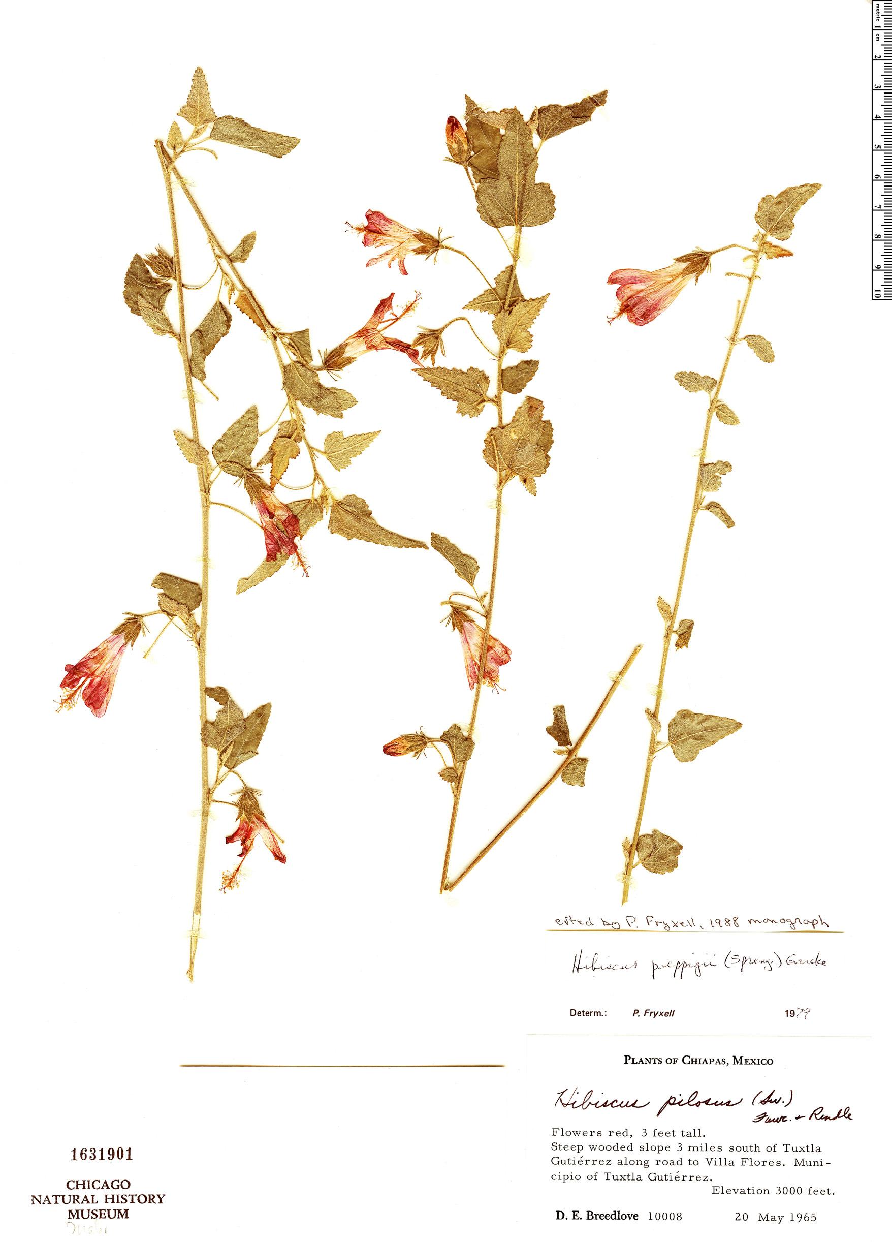 Specimen: Hibiscus poeppigii