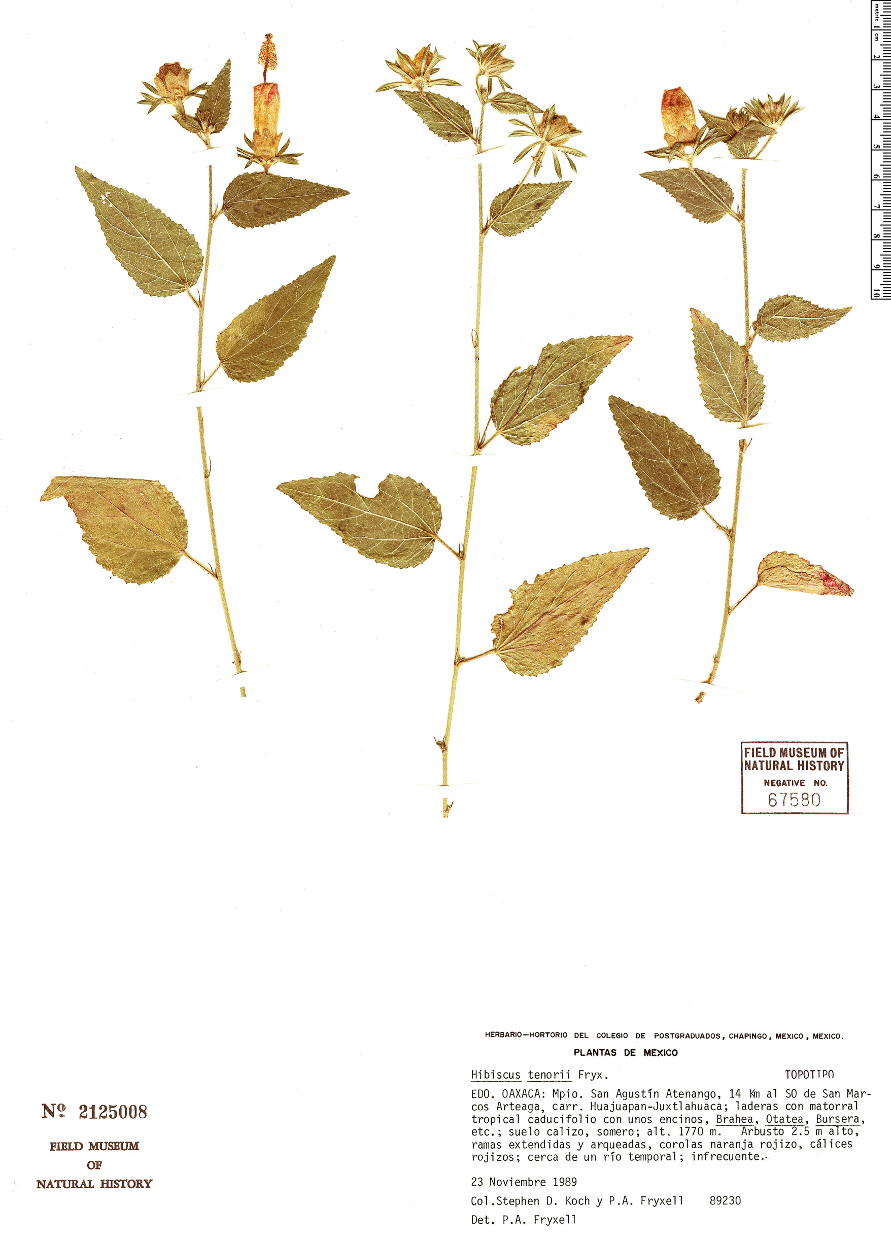 Specimen: Hibiscus tenorii