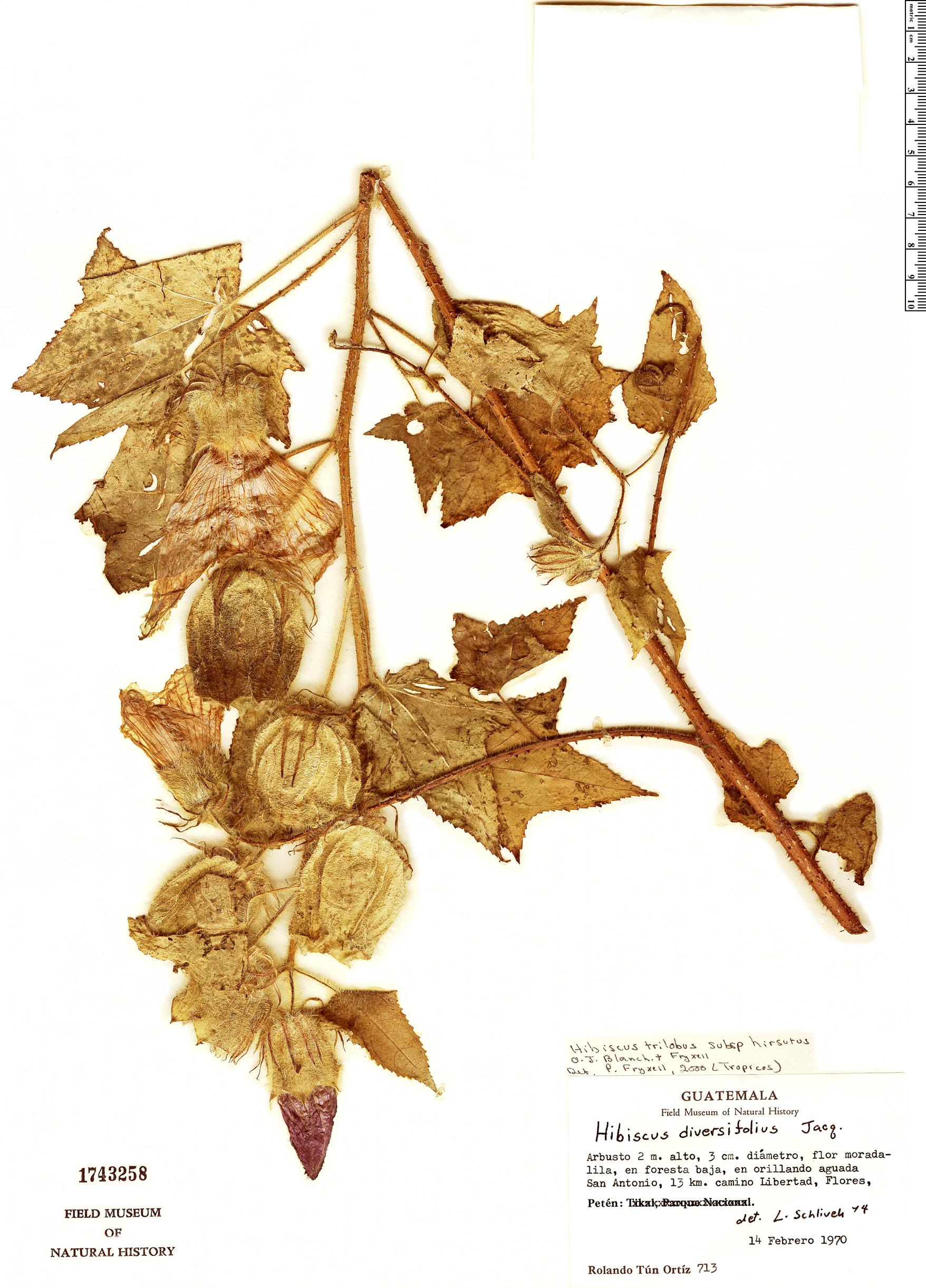 Specimen: Hibiscus trilobus