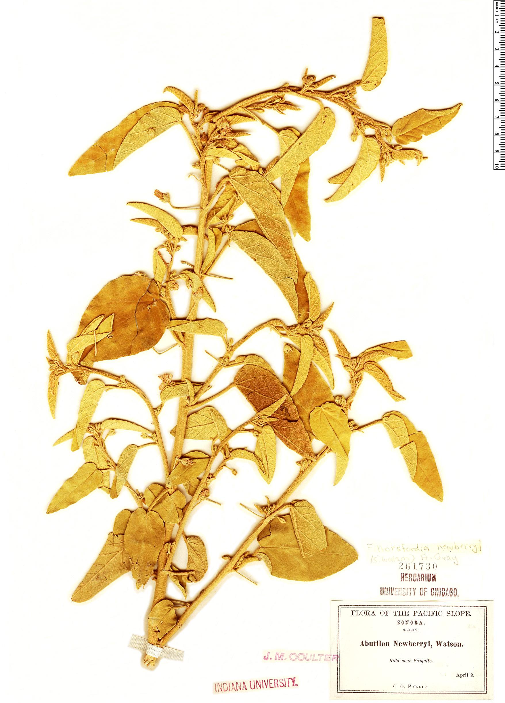Specimen: Horsfordia newberryi