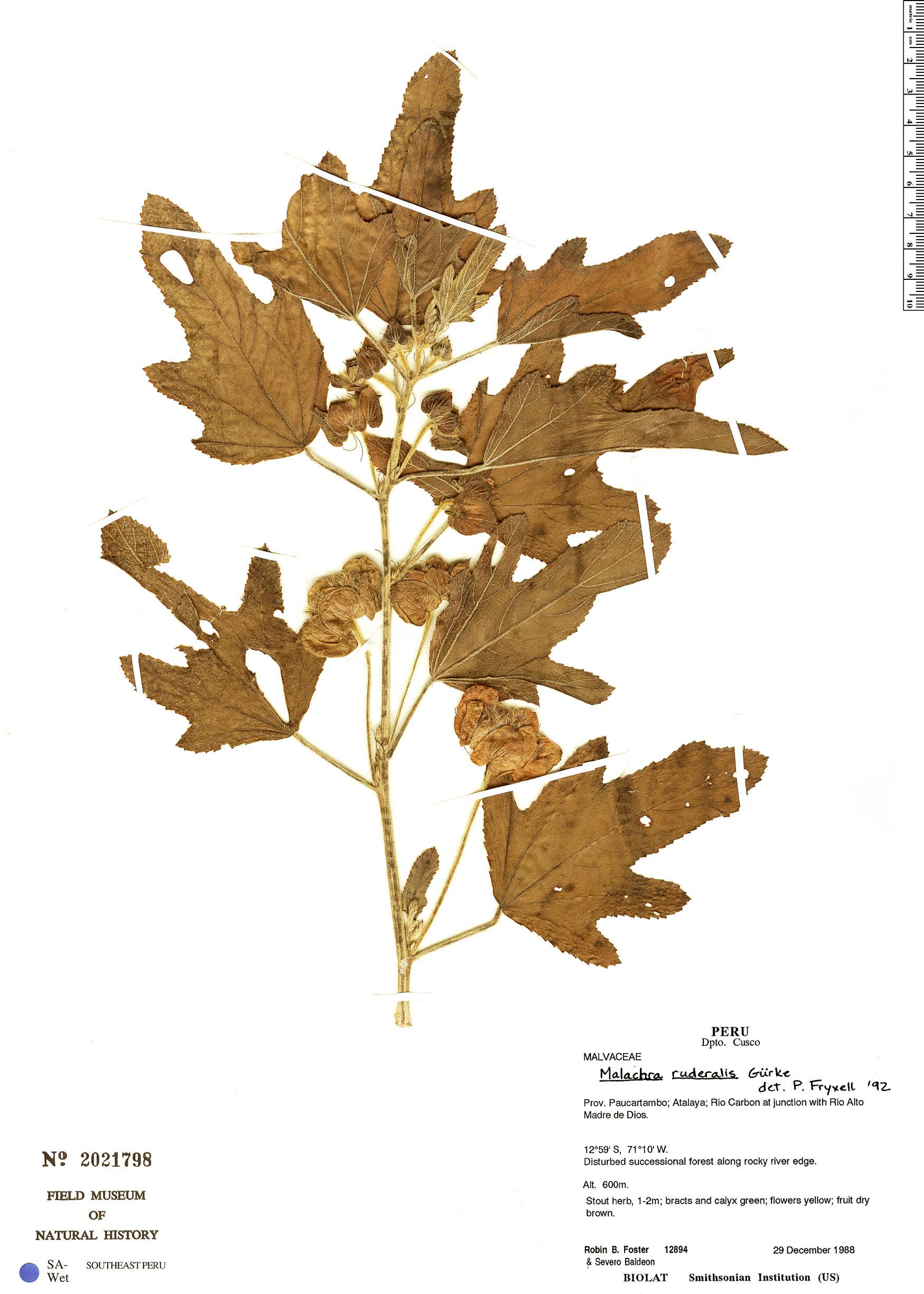 Specimen: Malachra ruderalis