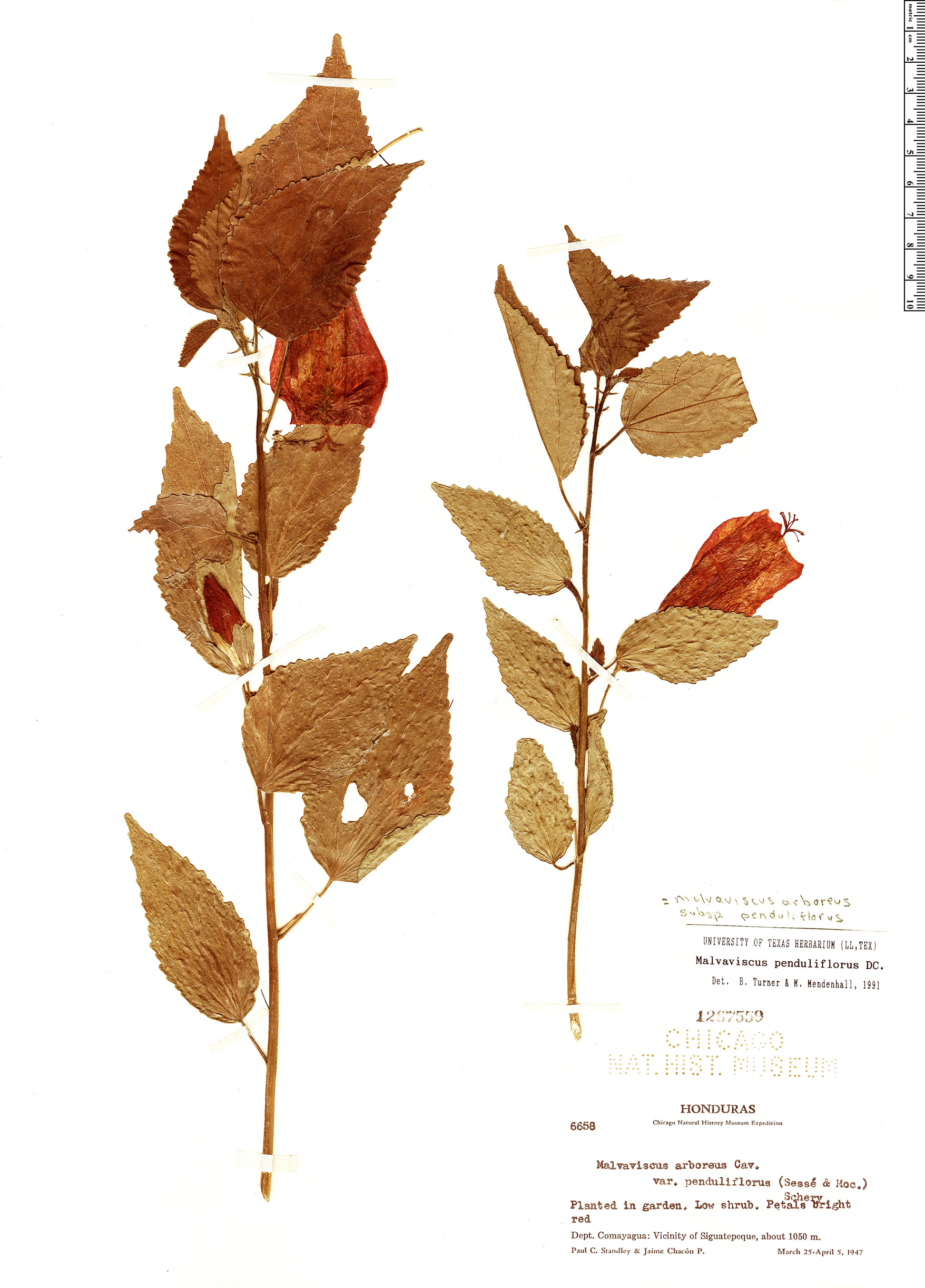 Specimen: Malvaviscus arboreus