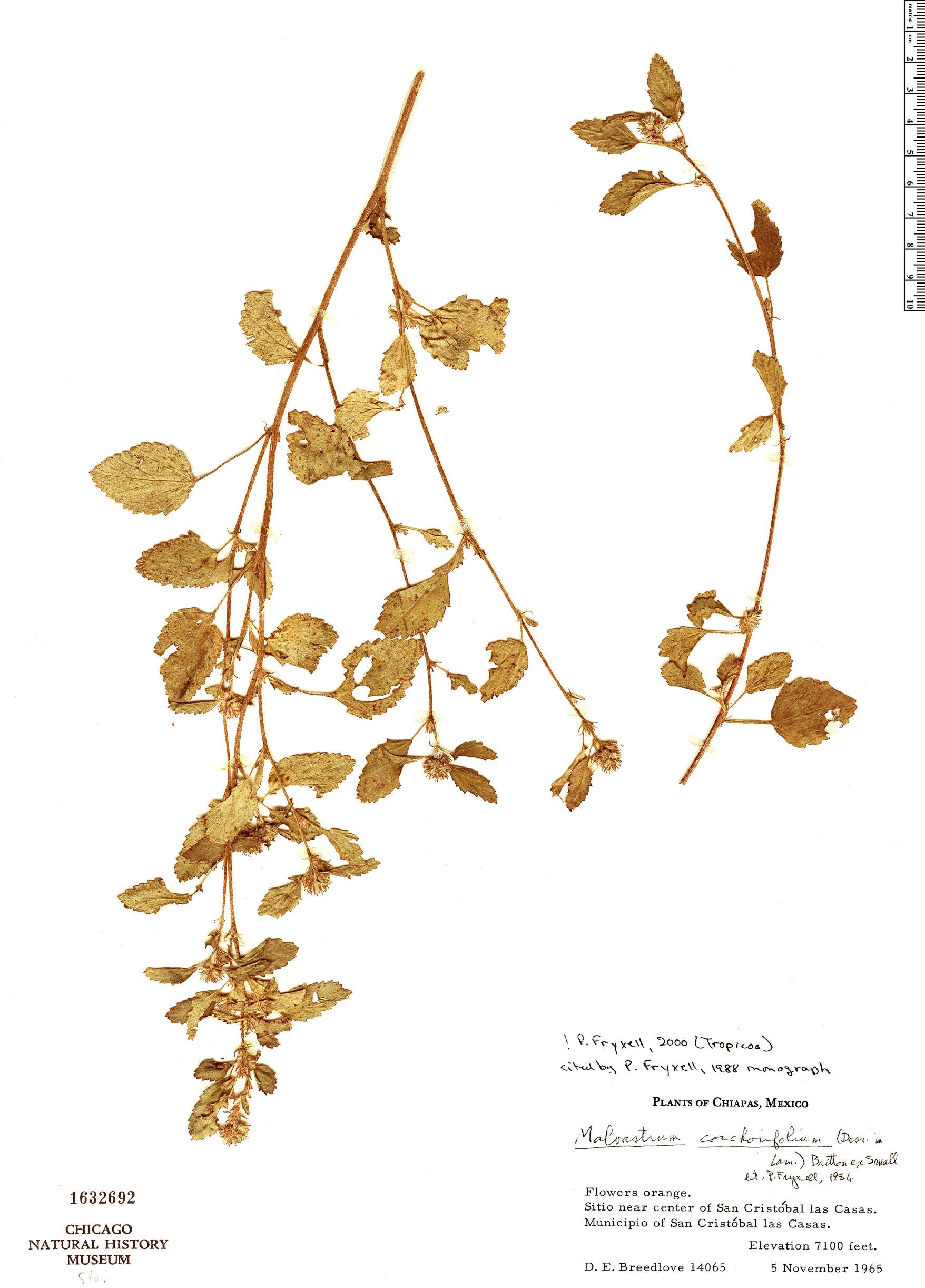 Specimen: Malvastrum corchorifolium