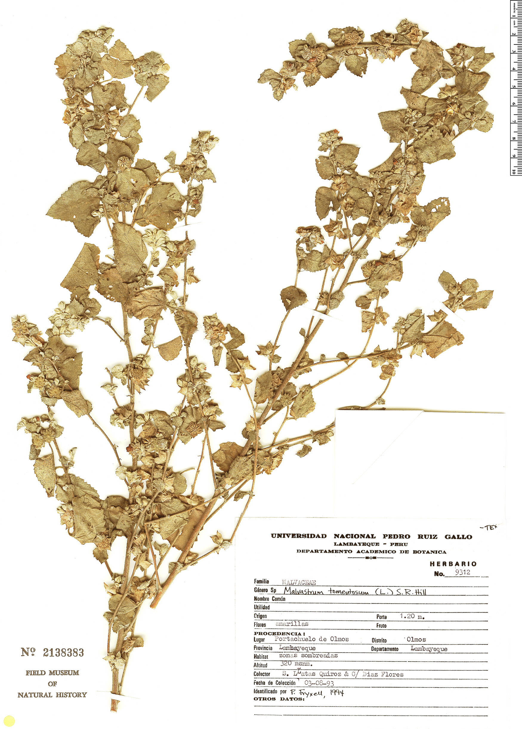 Malvastrum tomentosum image