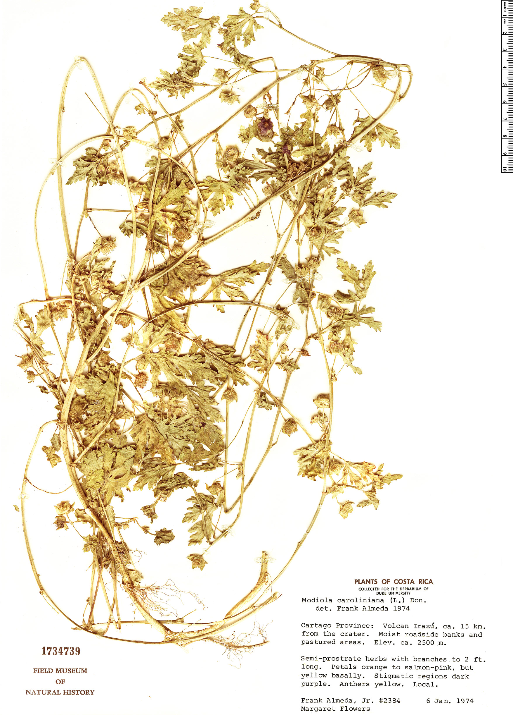 Specimen: Modiola caroliniana
