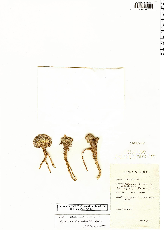 Specimen: Nototriche digitulifolia