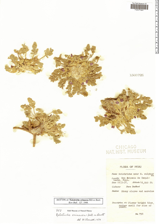 Specimen: Nototriche erinacea