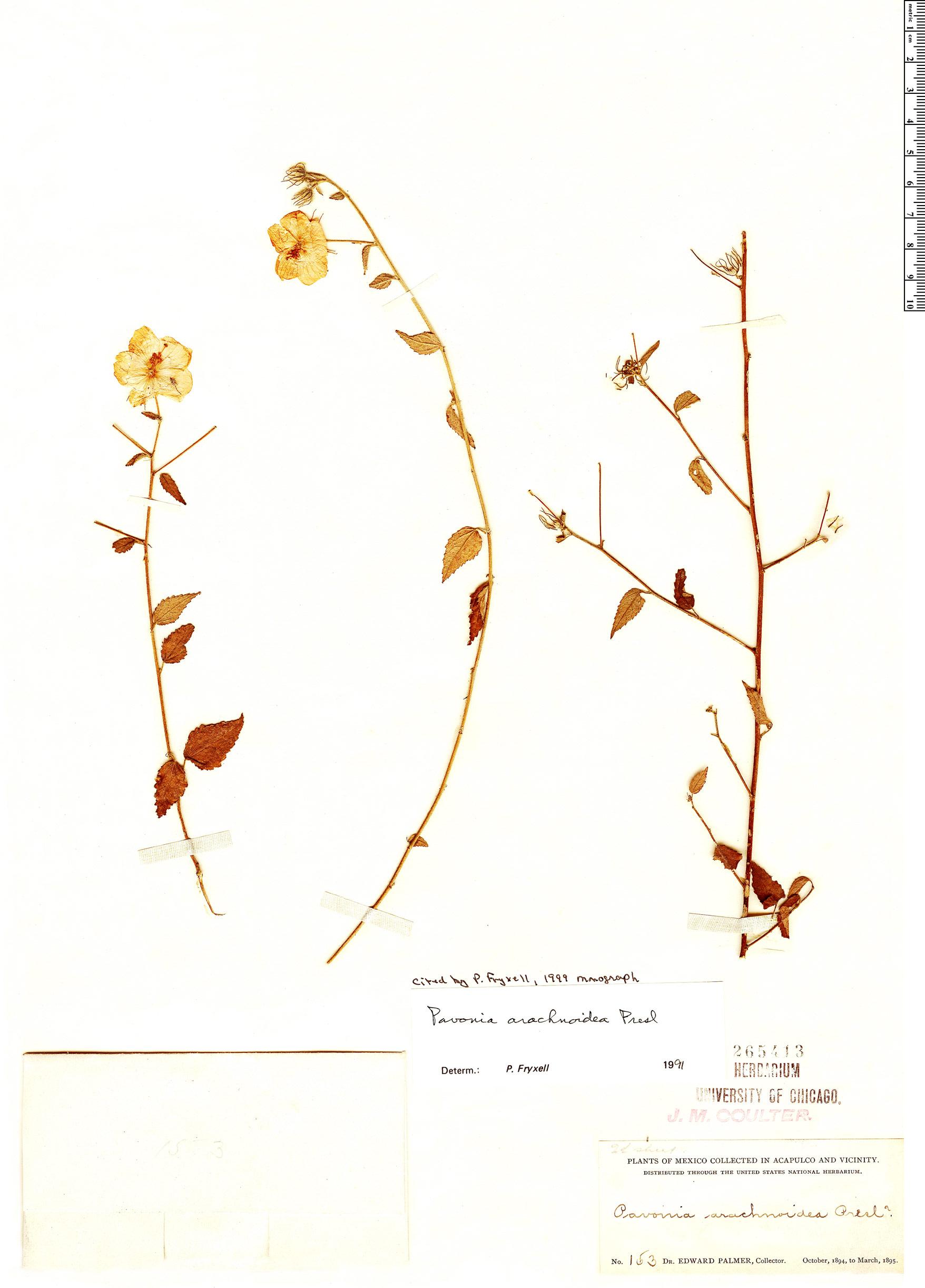 Specimen: Pavonia arachnoidea
