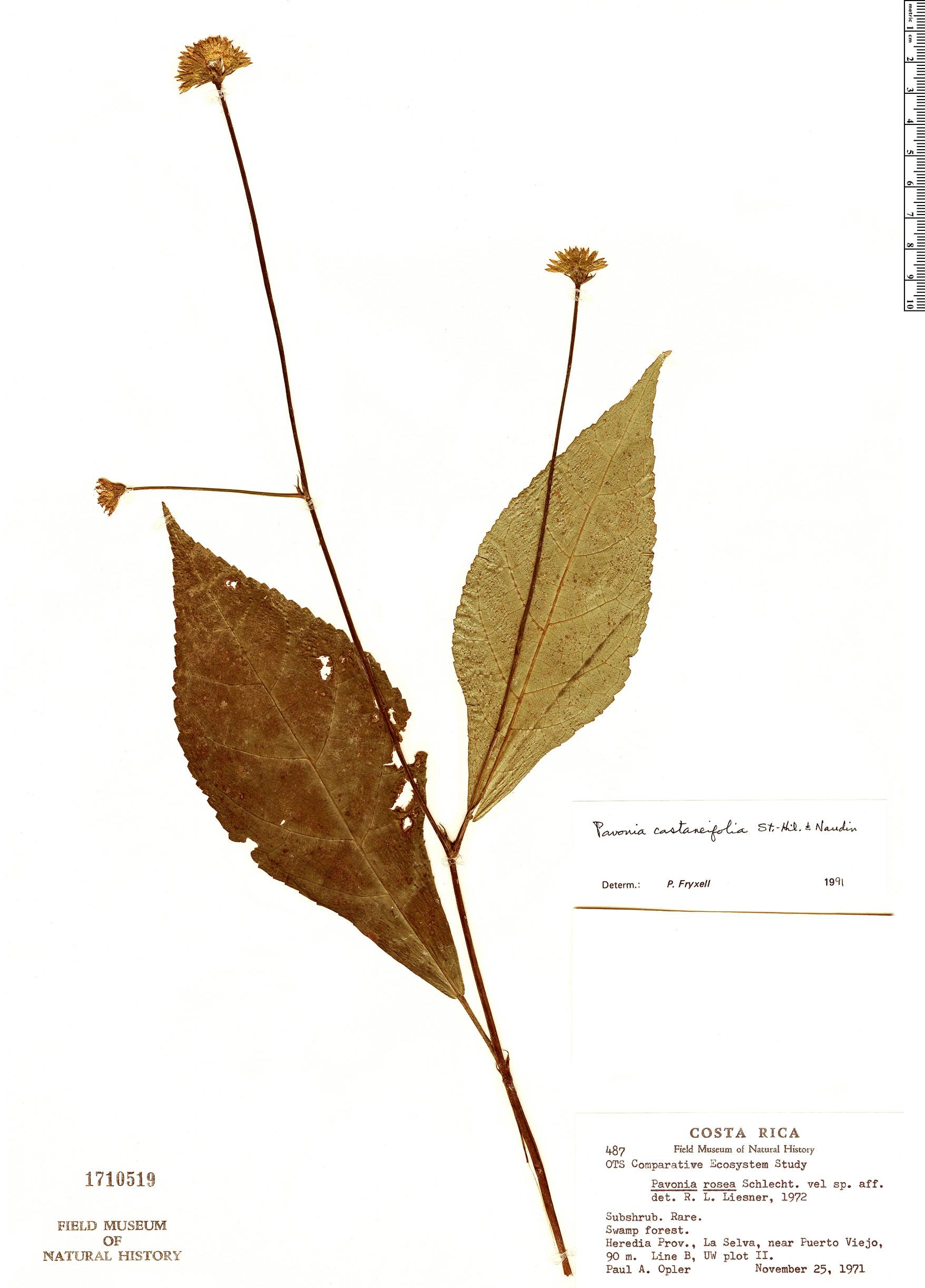 Specimen: Pavonia castaneifolia