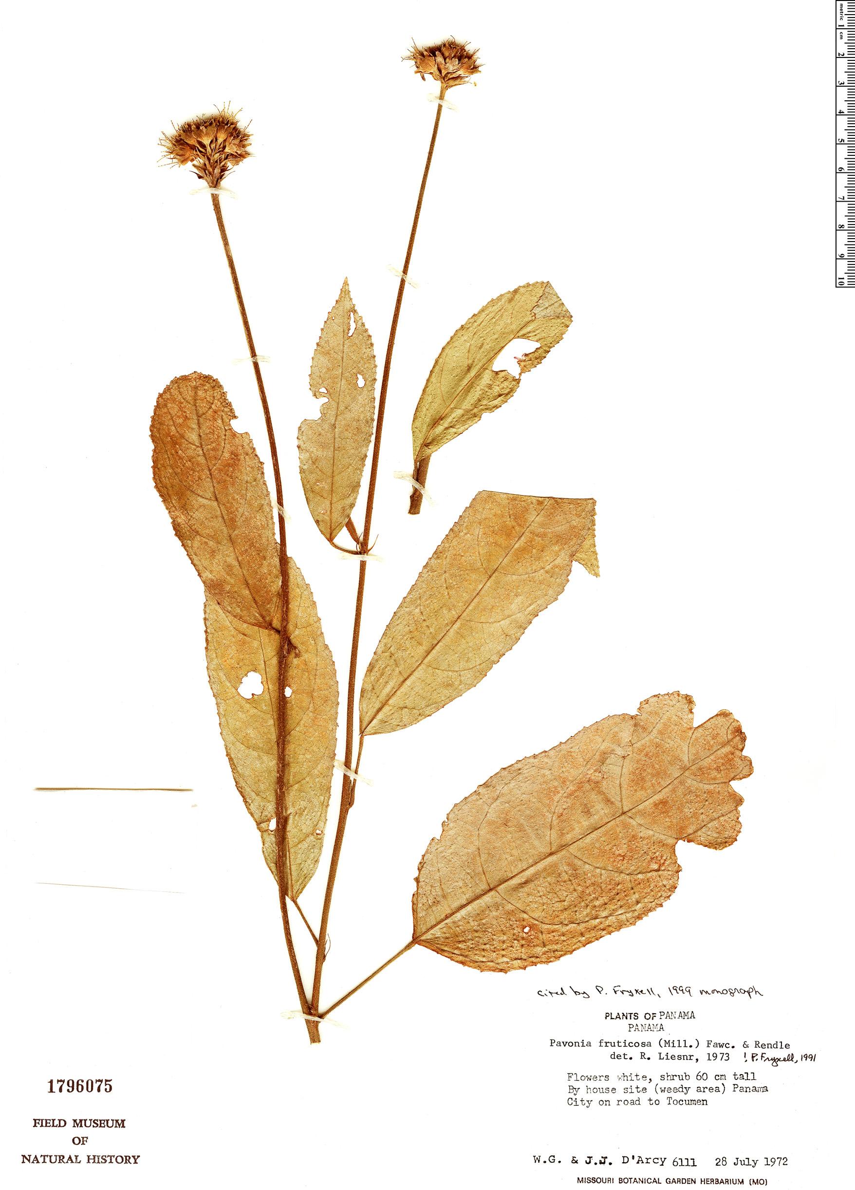 Specimen: Pavonia fruticosa