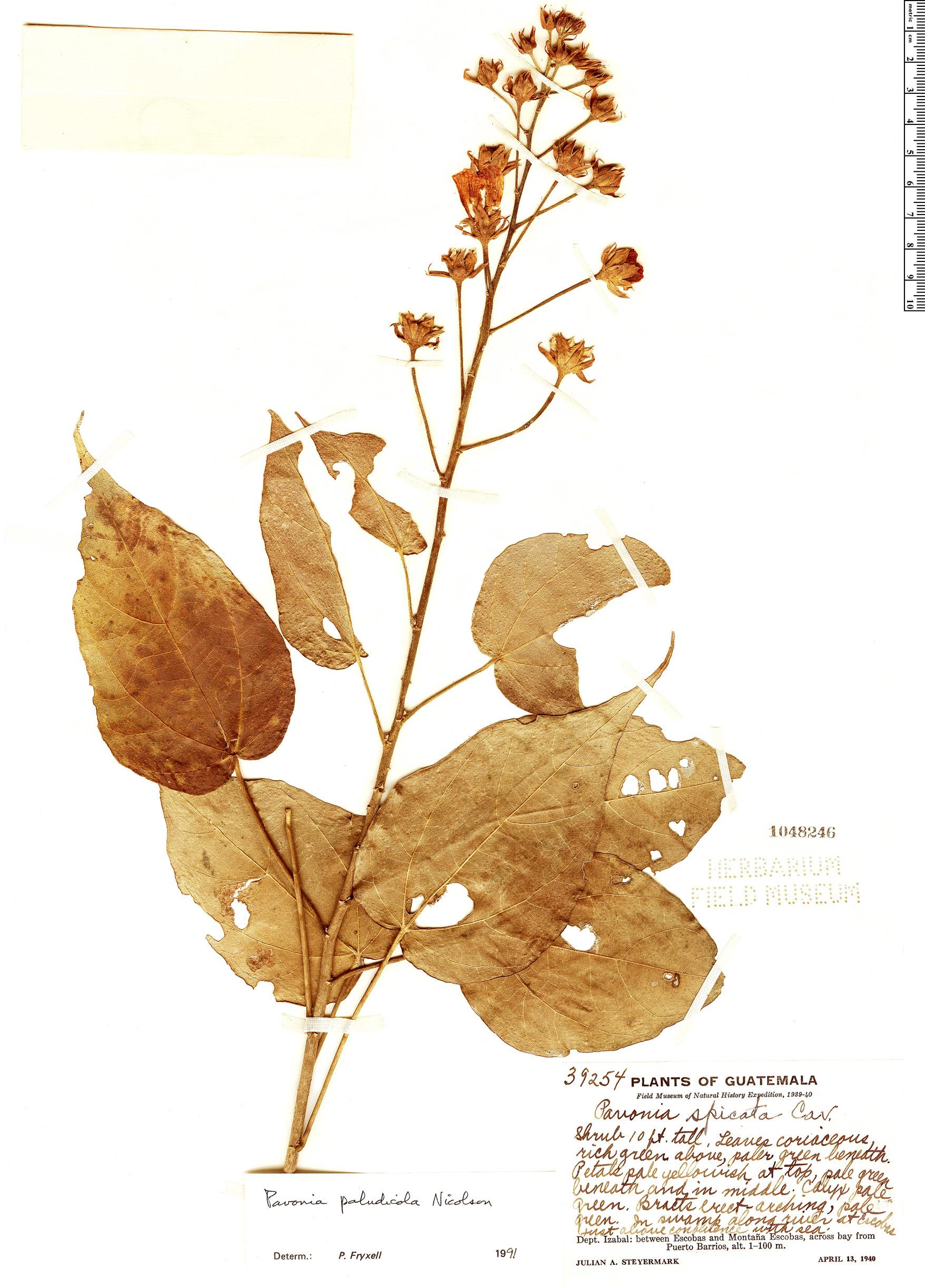Specimen: Pavonia paludicola