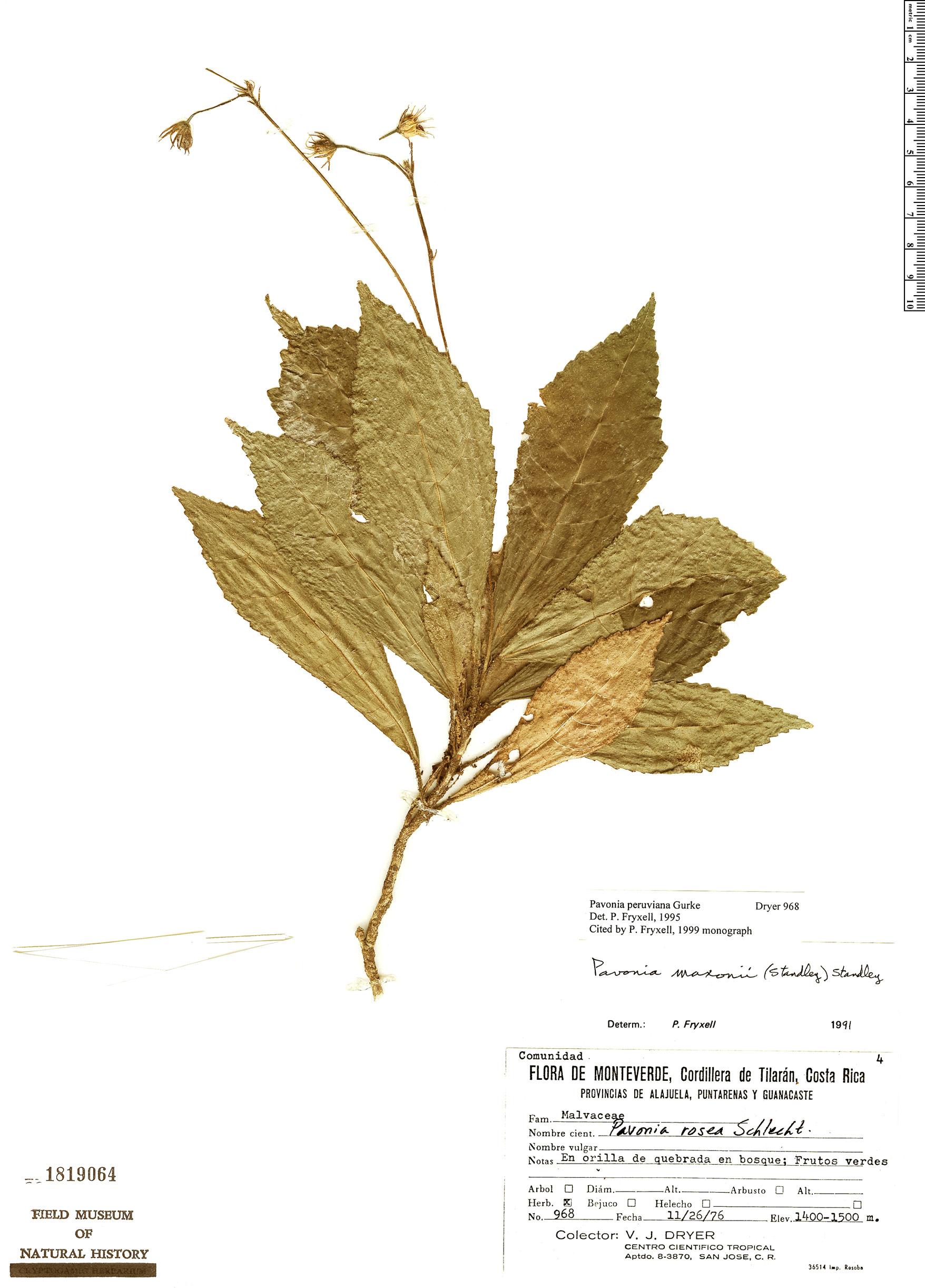 Specimen: Pavonia peruviana
