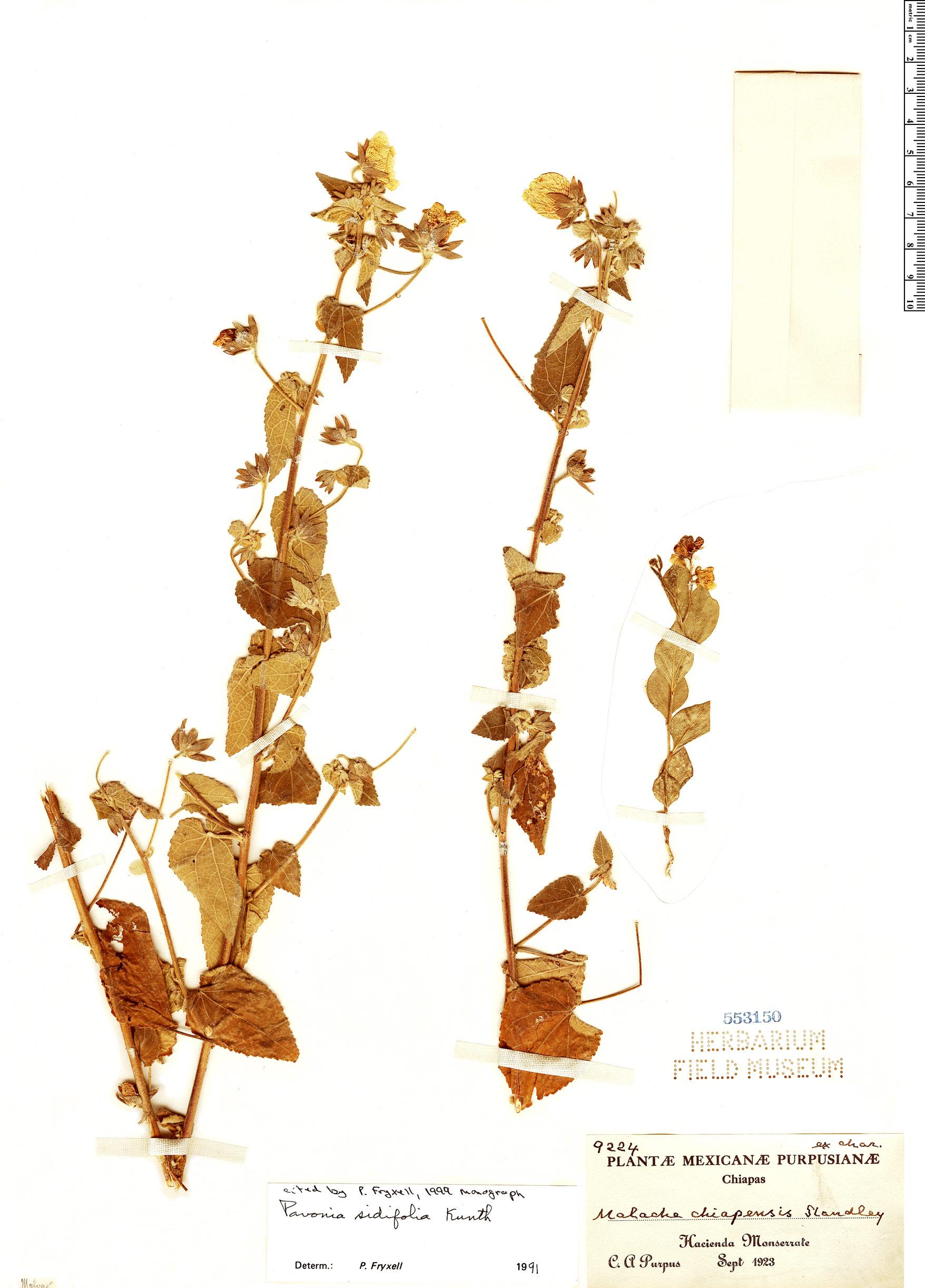 Specimen: Pavonia sidifolia