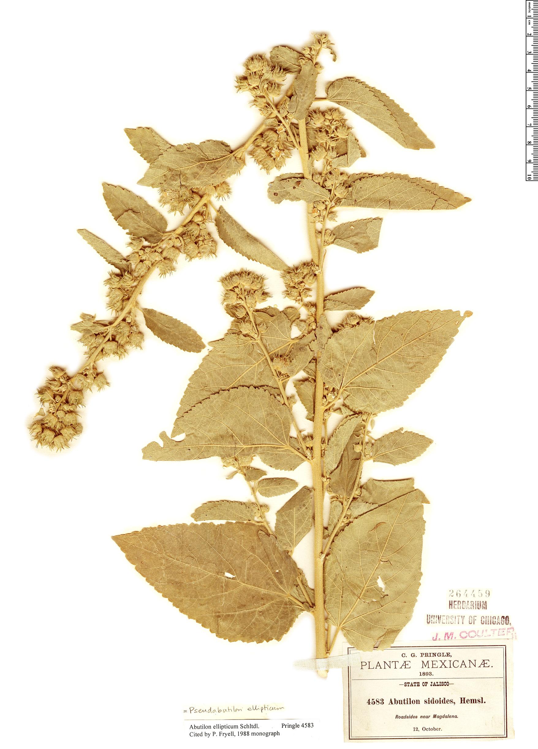 Specimen: Pseudabutilon ellipticum