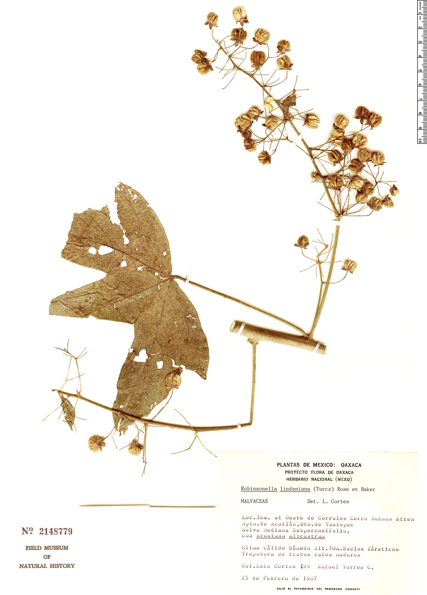 Specimen: Robinsonella lindeniana