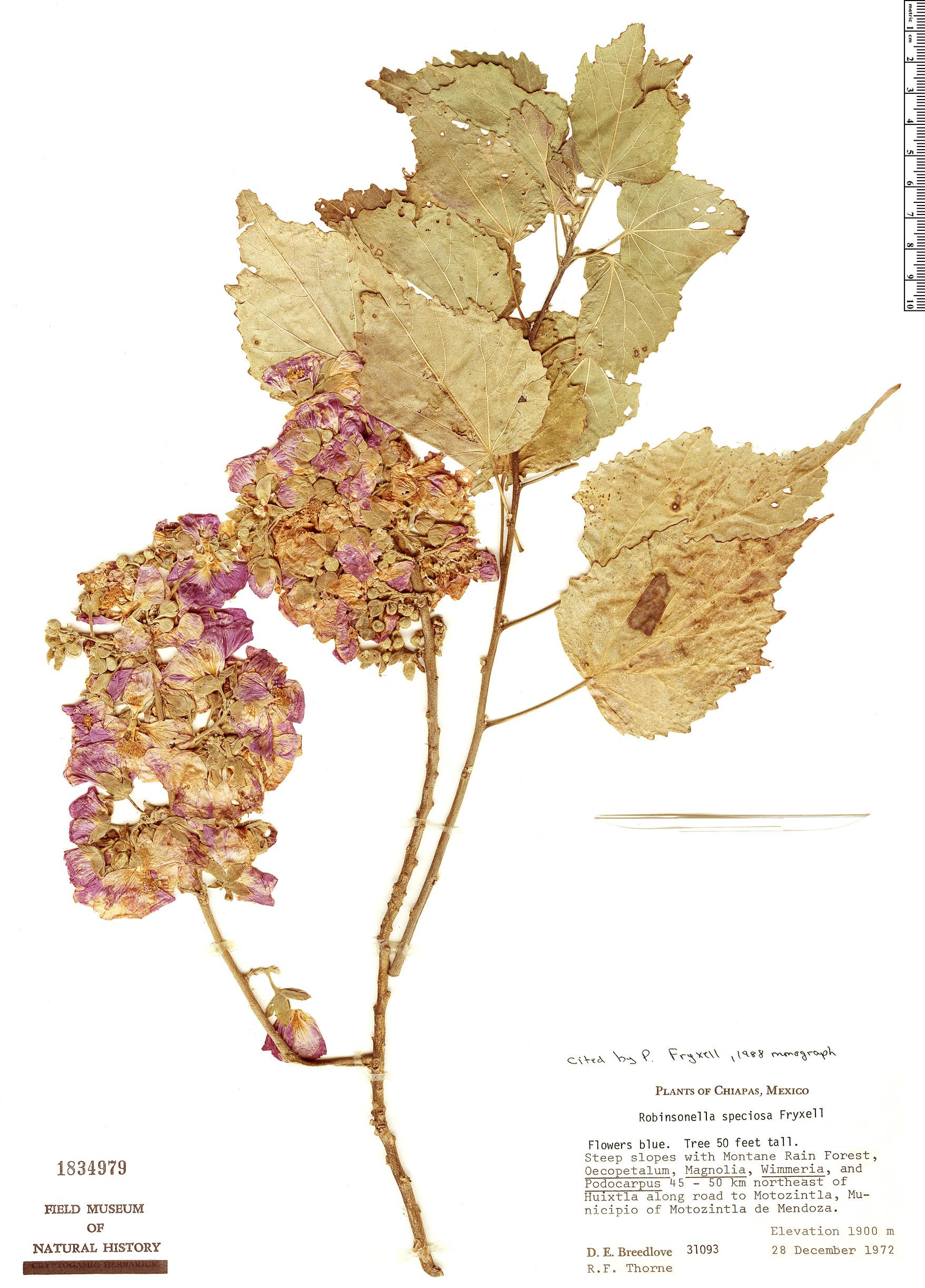 Specimen: Robinsonella speciosa