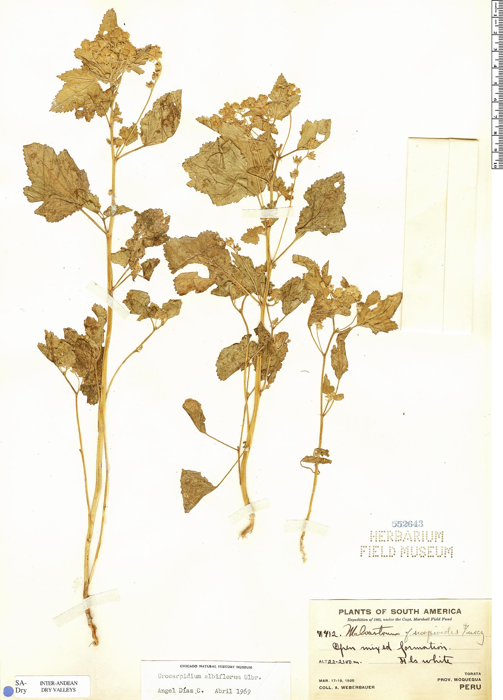 Specimen: Urocarpidium albiflorum