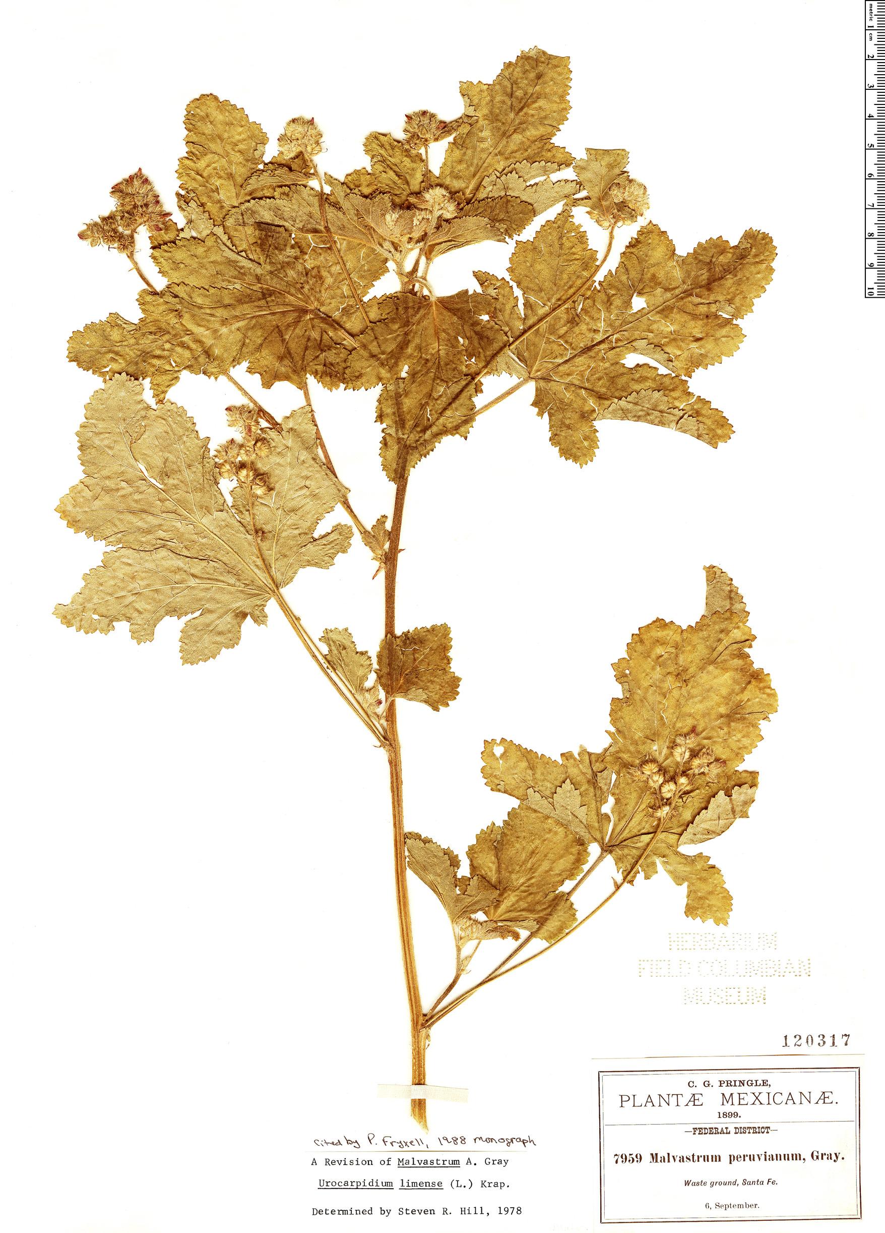 Specimen: Fuertesimalva limensis
