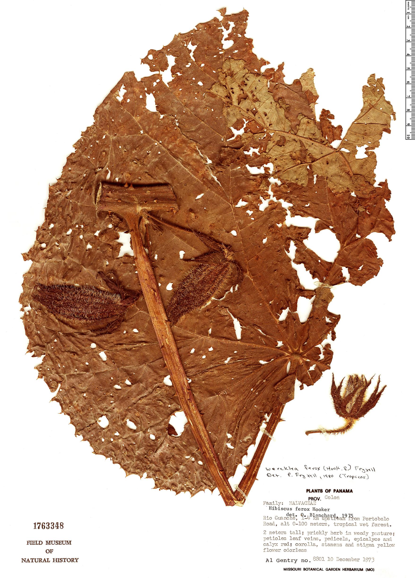 Specimen: Wercklea ferox