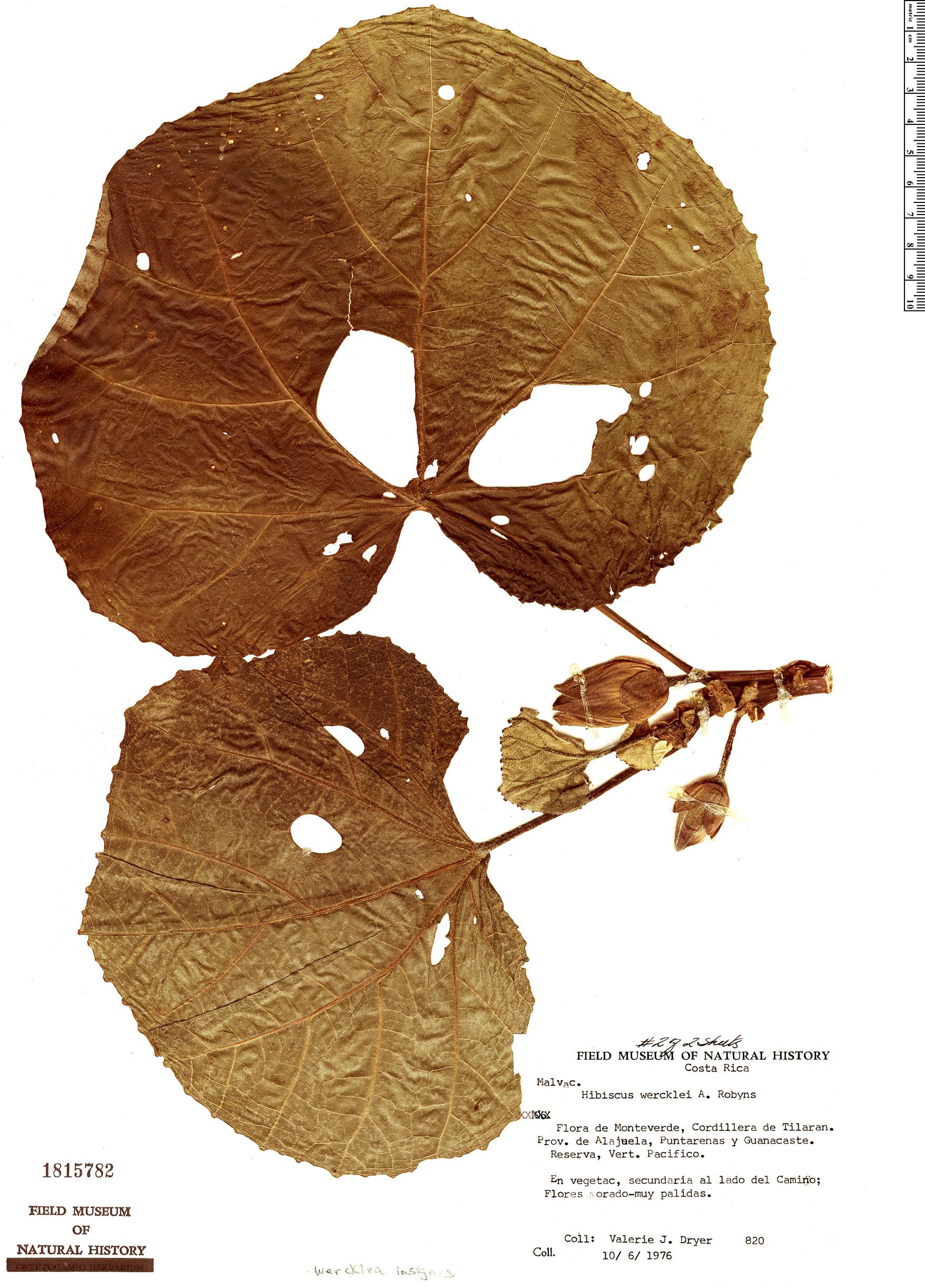 Specimen: Wercklea insignis