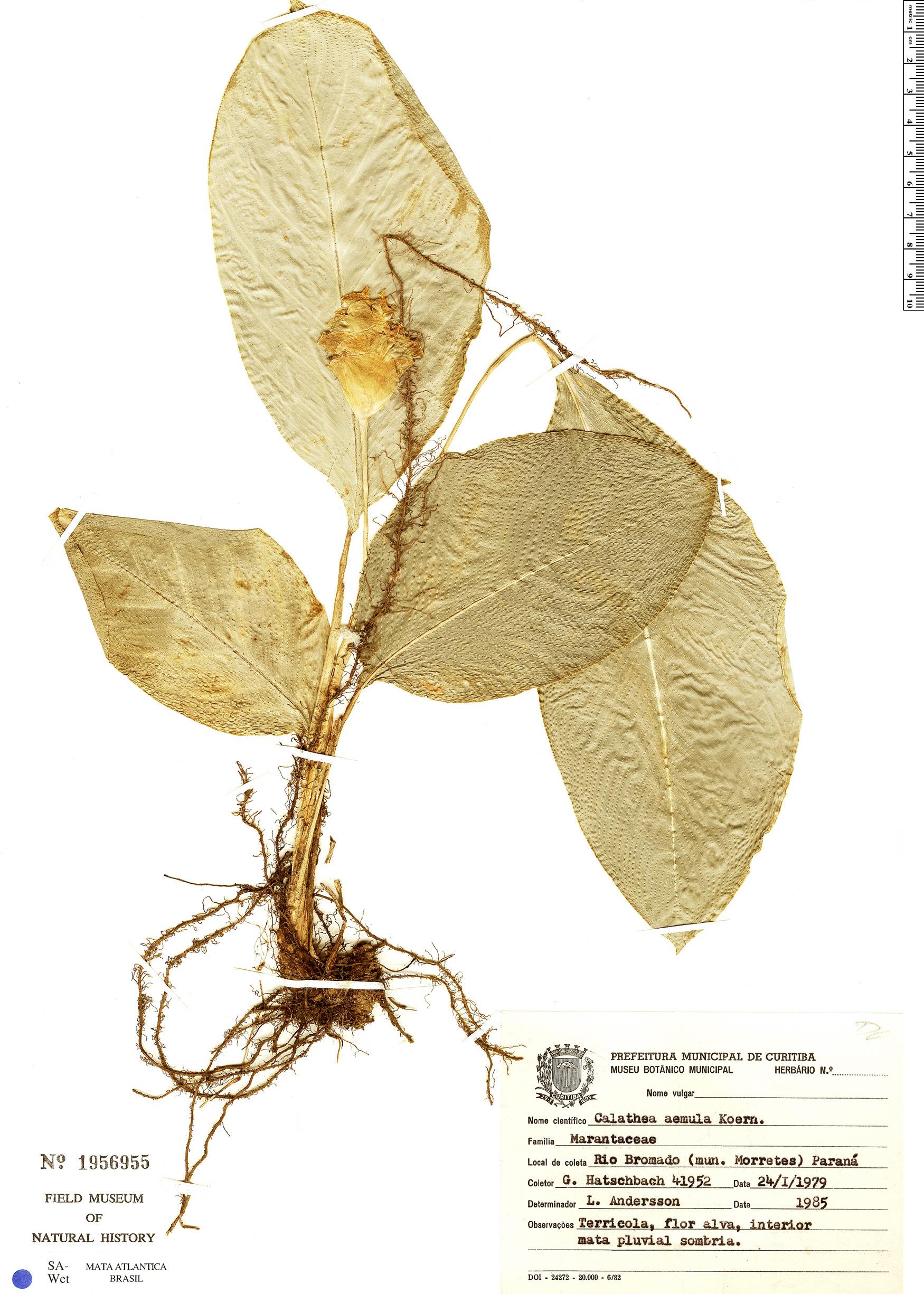 Specimen: Calathea aemula