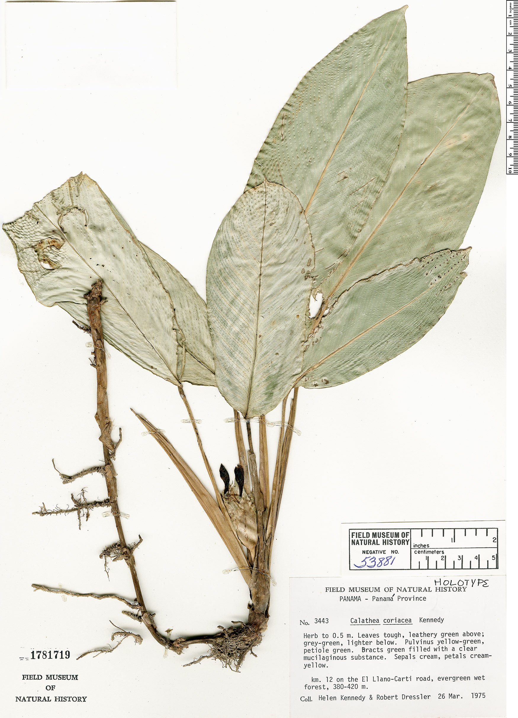 Specimen: Calathea coriacea