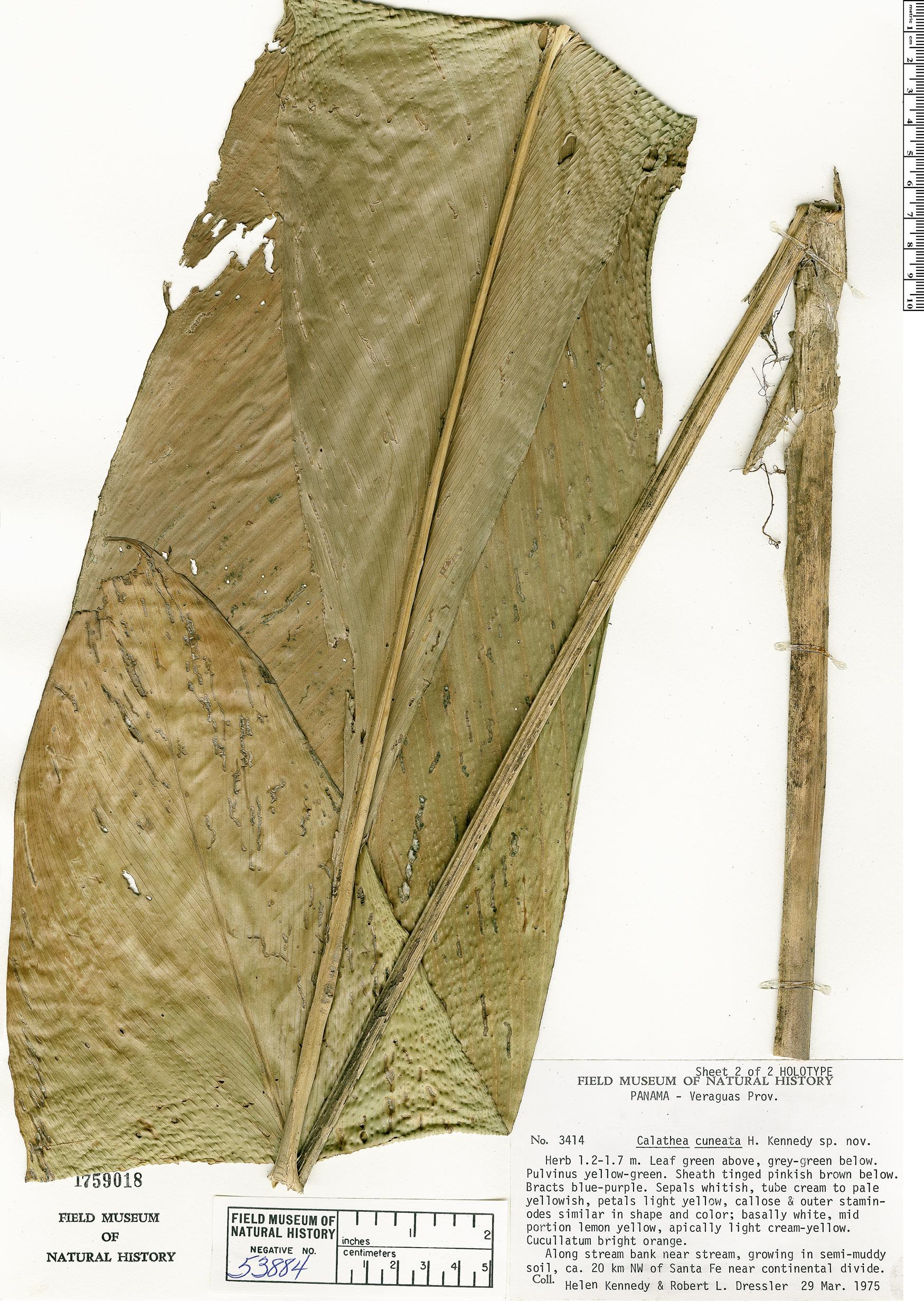 Specimen: Calathea cuneata