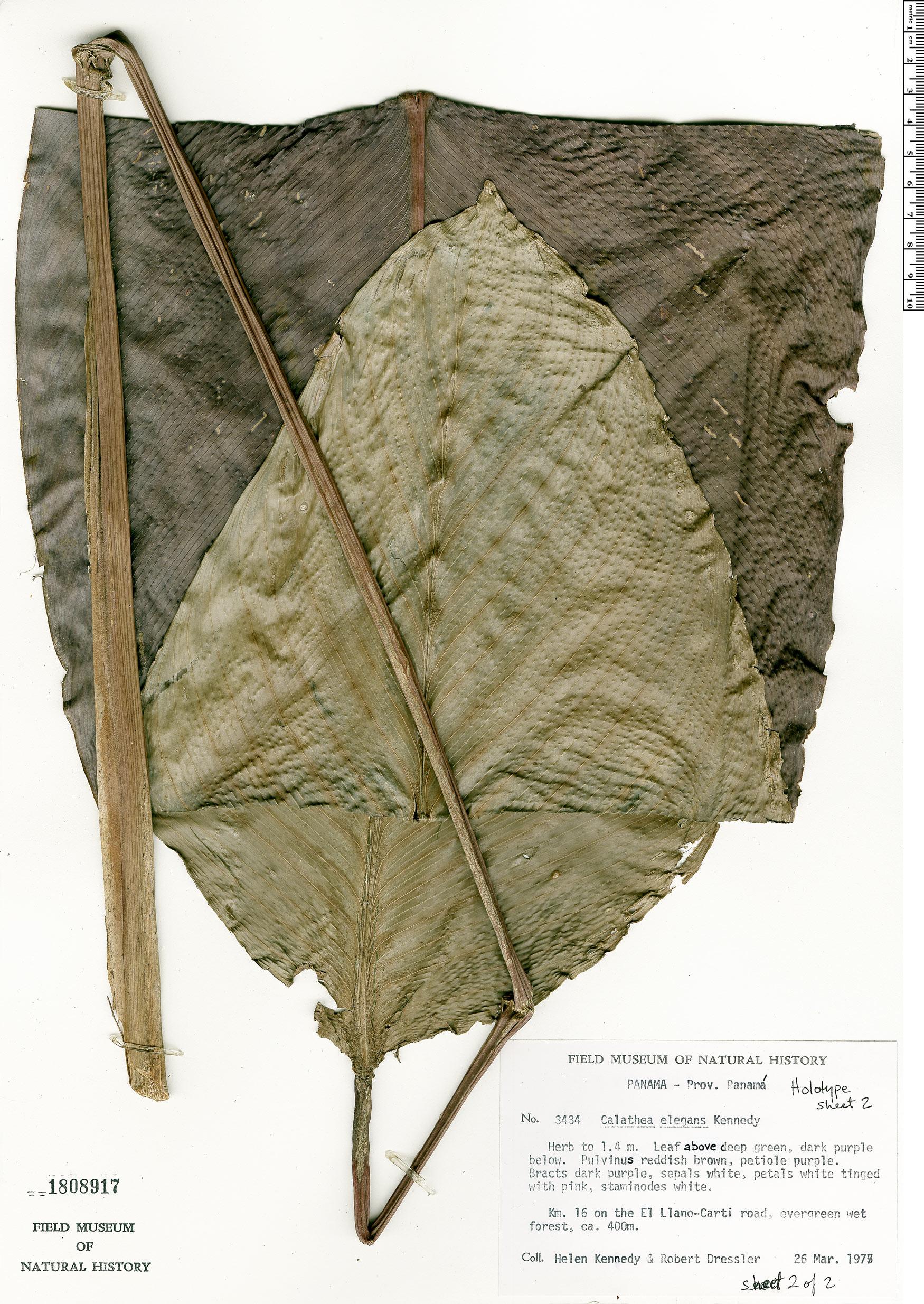 Specimen: Calathea elegans