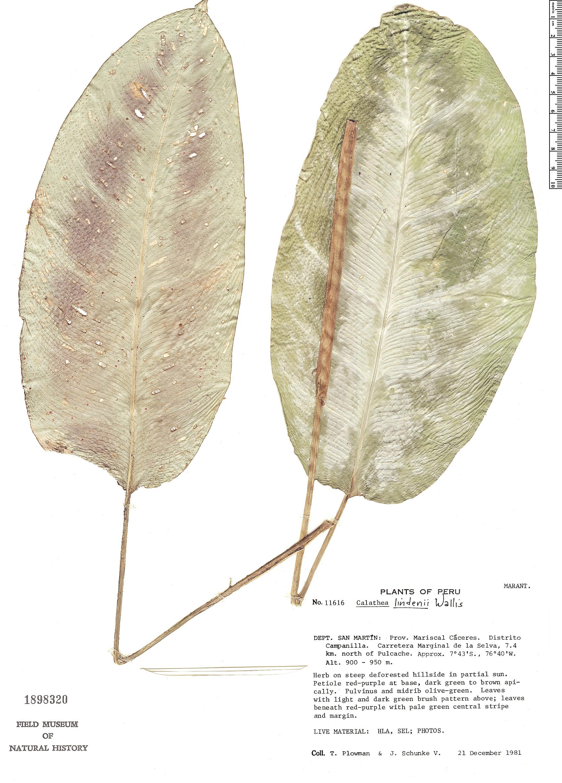 Specimen: Calathea lindeniana