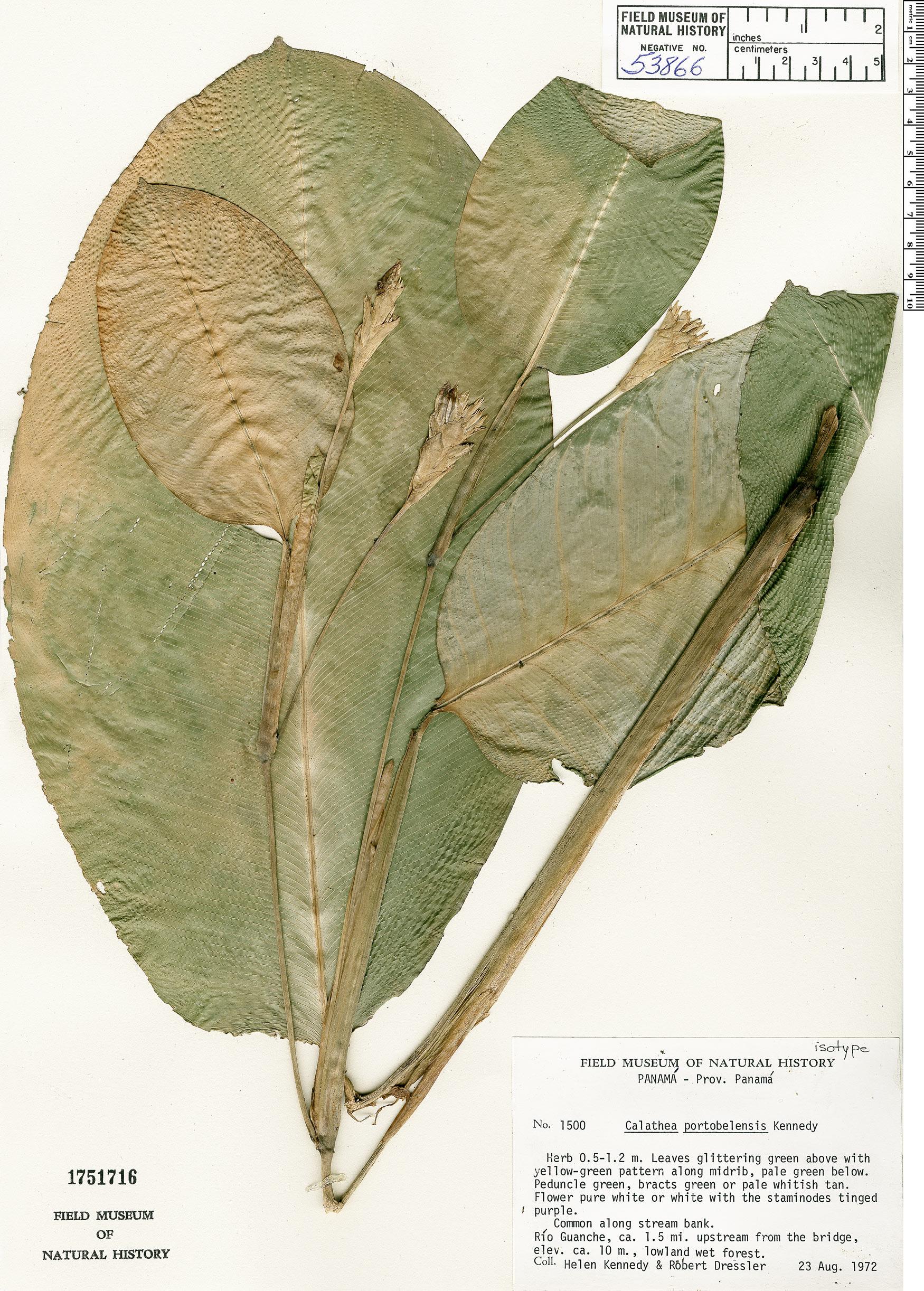 Specimen: Calathea portobelensis