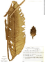 Calathea zebrina image