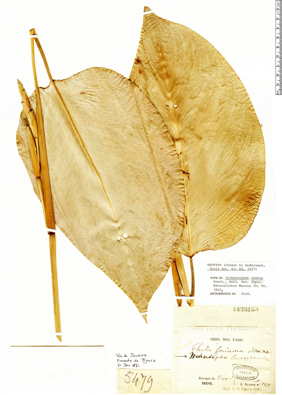 Specimen: Ischnosiphon ovatus