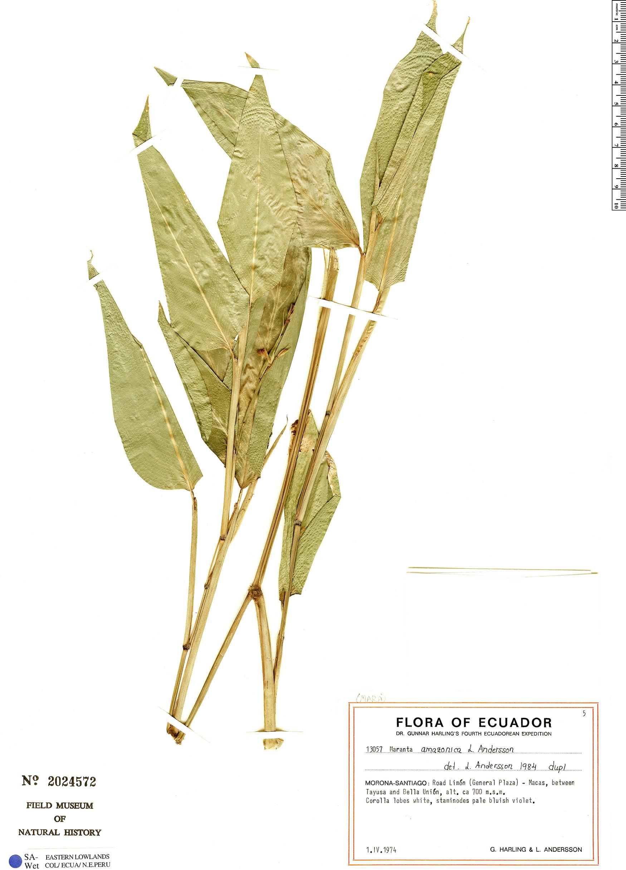 Specimen: Maranta amazonica