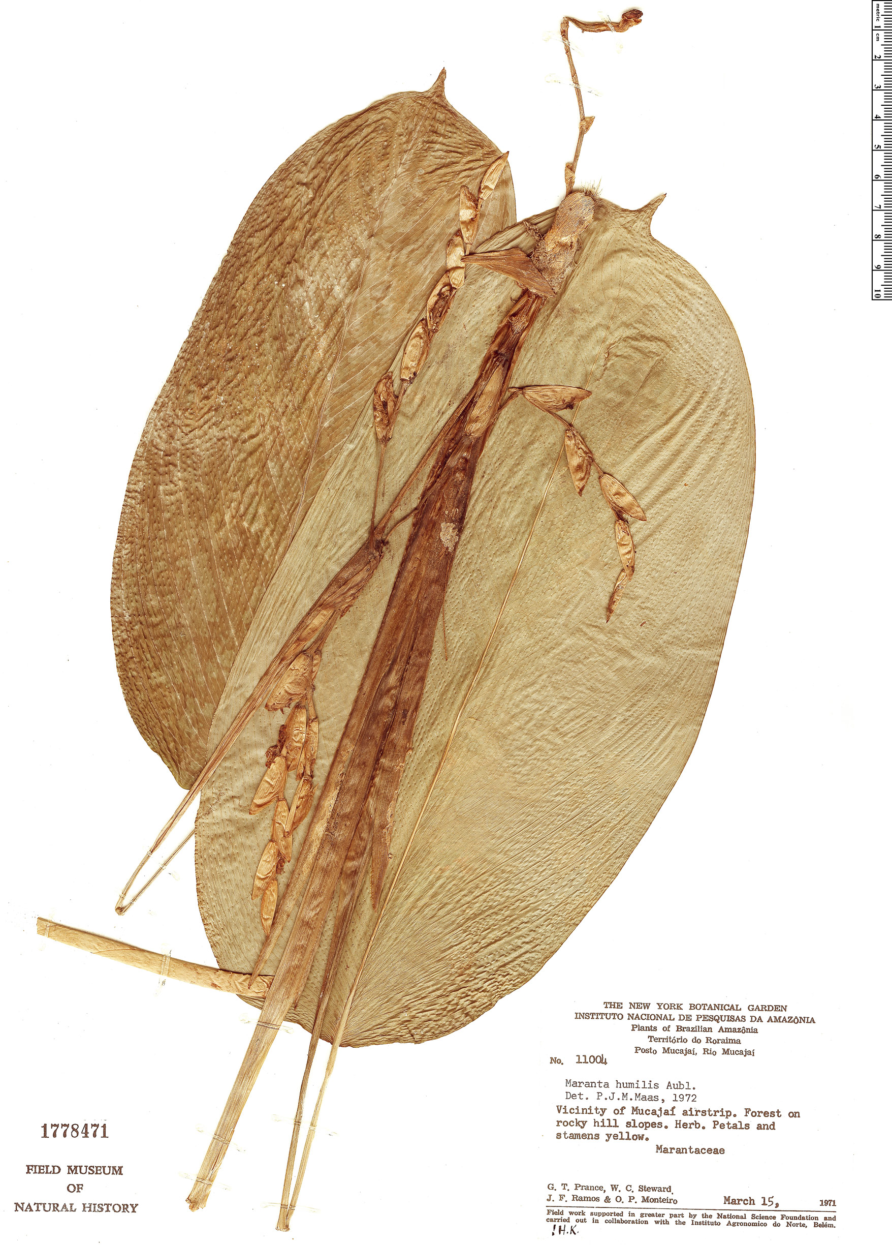Specimen: Maranta humilis