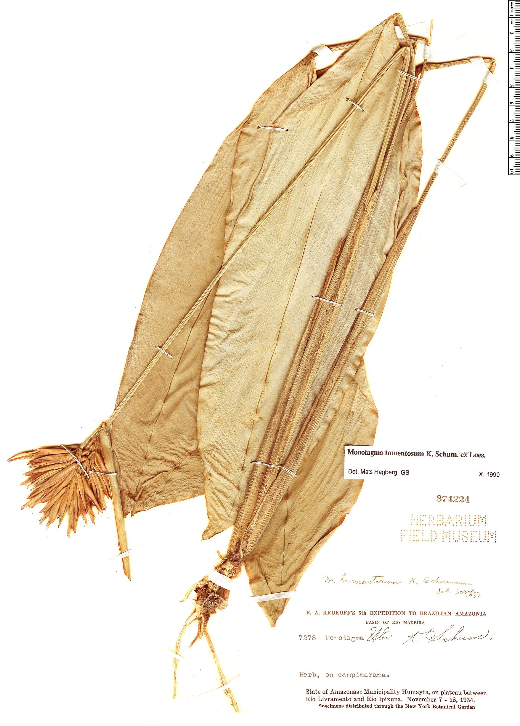 Specimen: Monotagma tomentosum