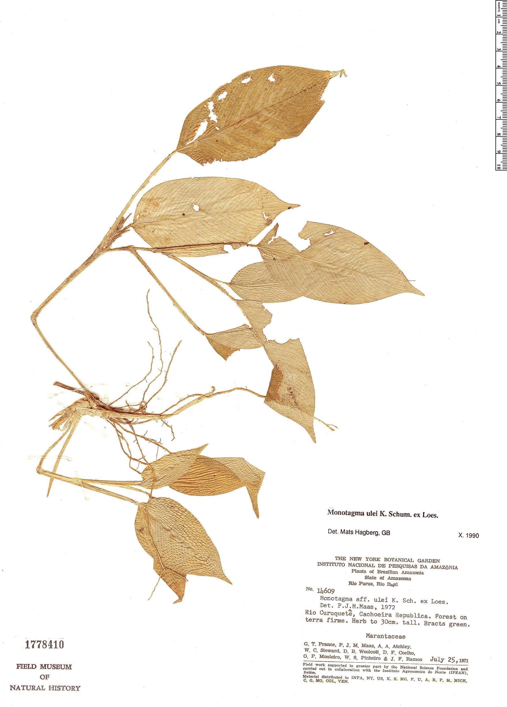 Specimen: Monotagma ulei