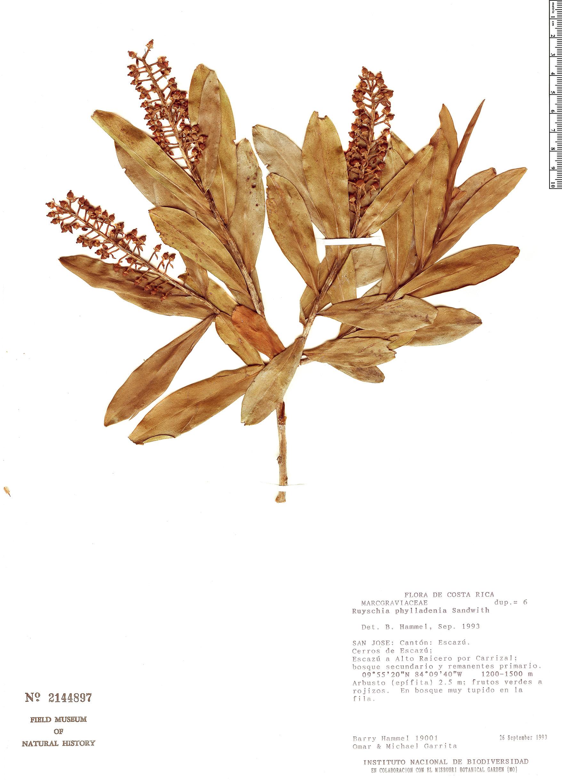 Specimen: Ruyschia phylladenia