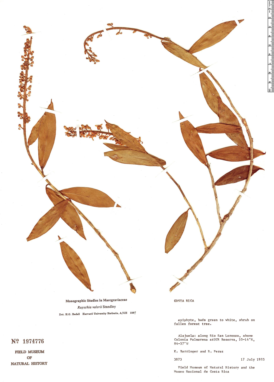 Specimen: Ruyschia valerioi
