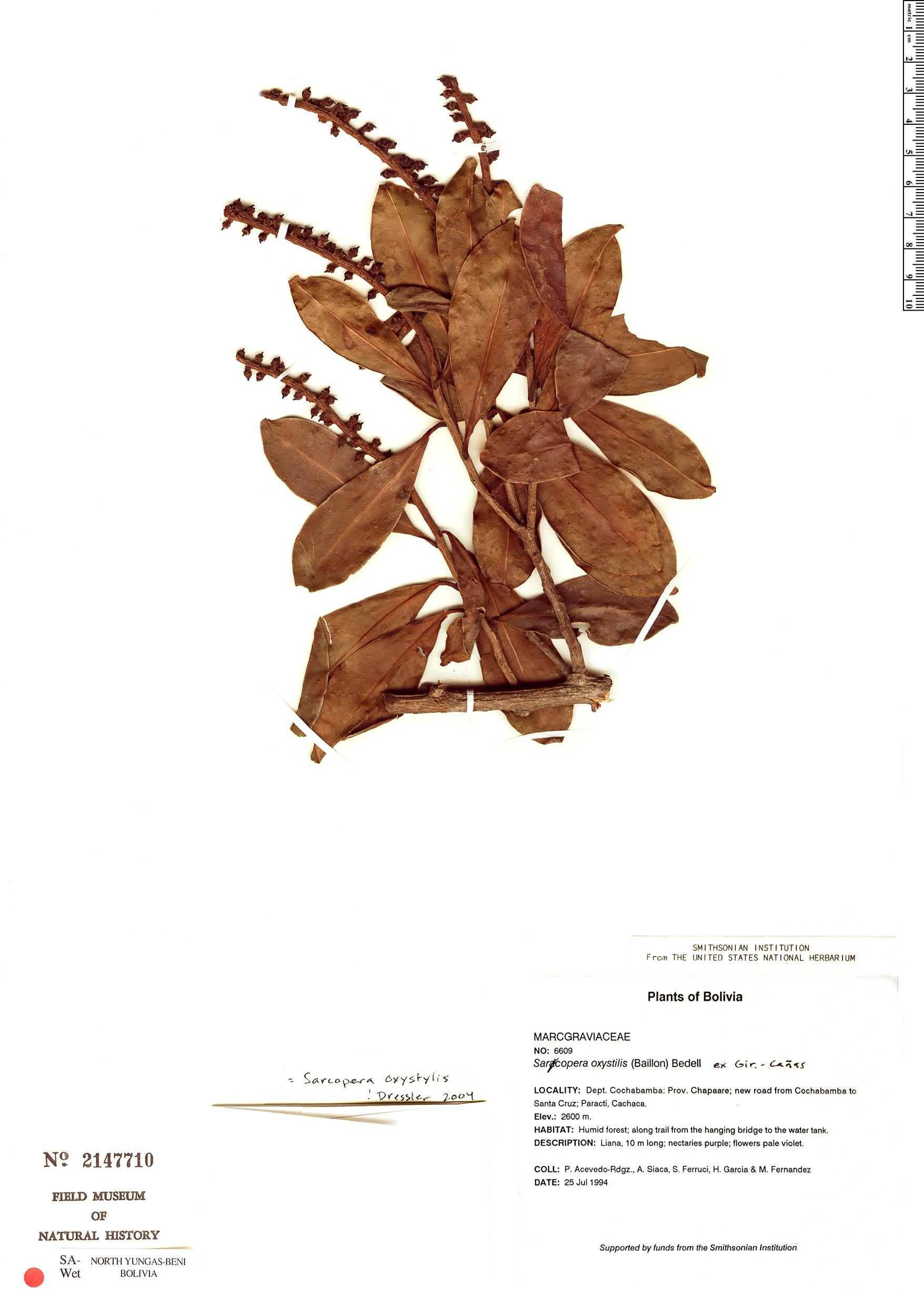 Specimen: Sarcopera oxystylis