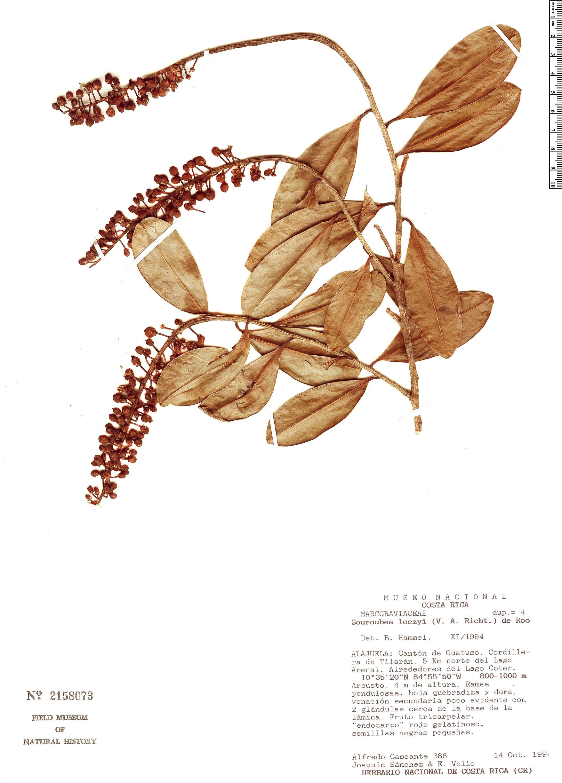 Specimen: Souroubea loczyi