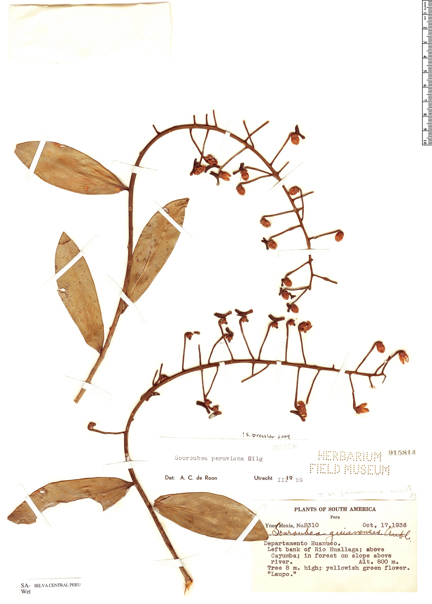 Specimen: Souroubea peruviana
