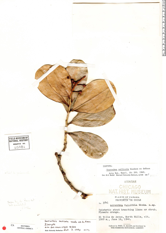 Specimen: Souroubea vallicola