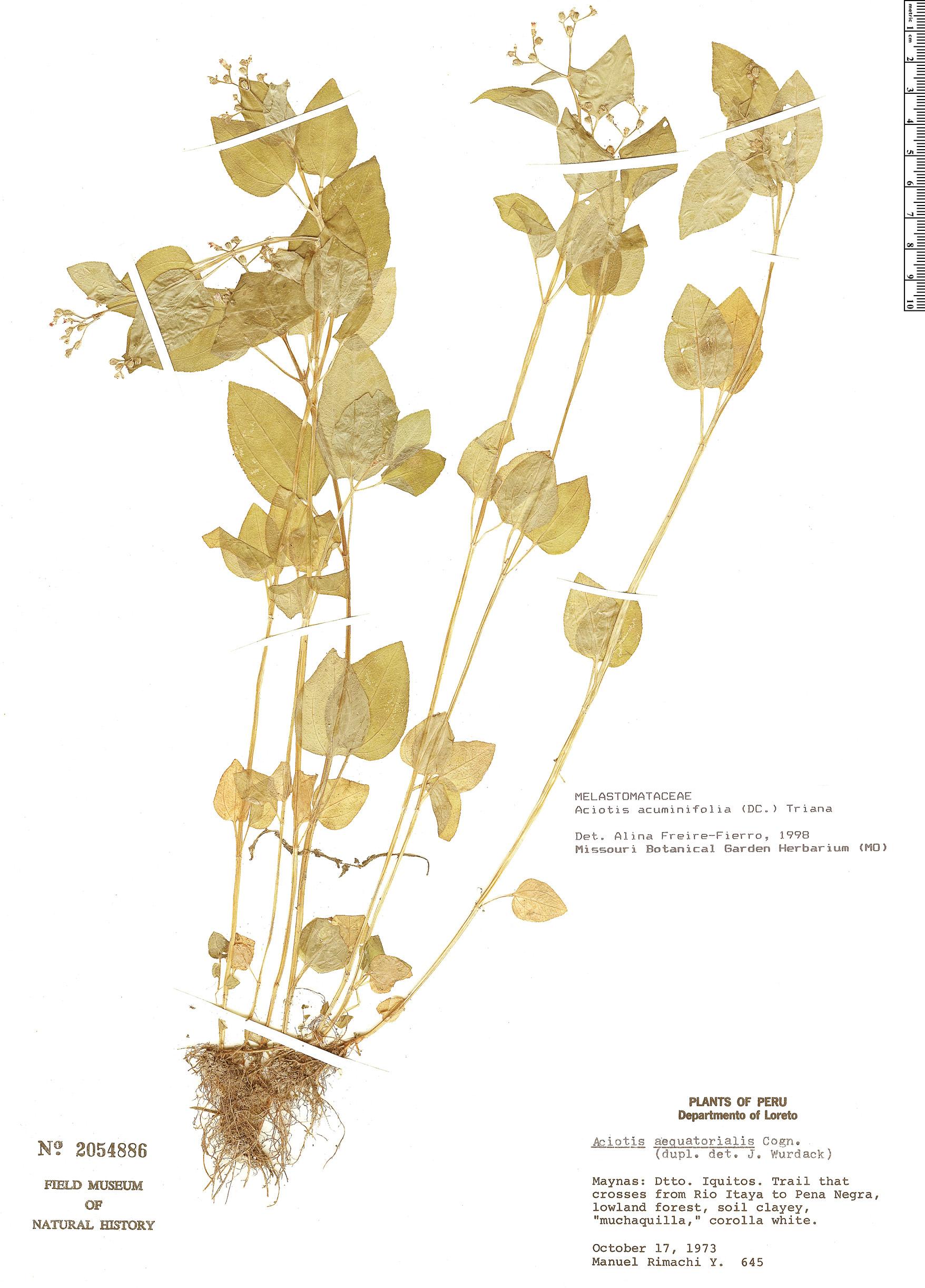 Specimen: Aciotis acuminifolia